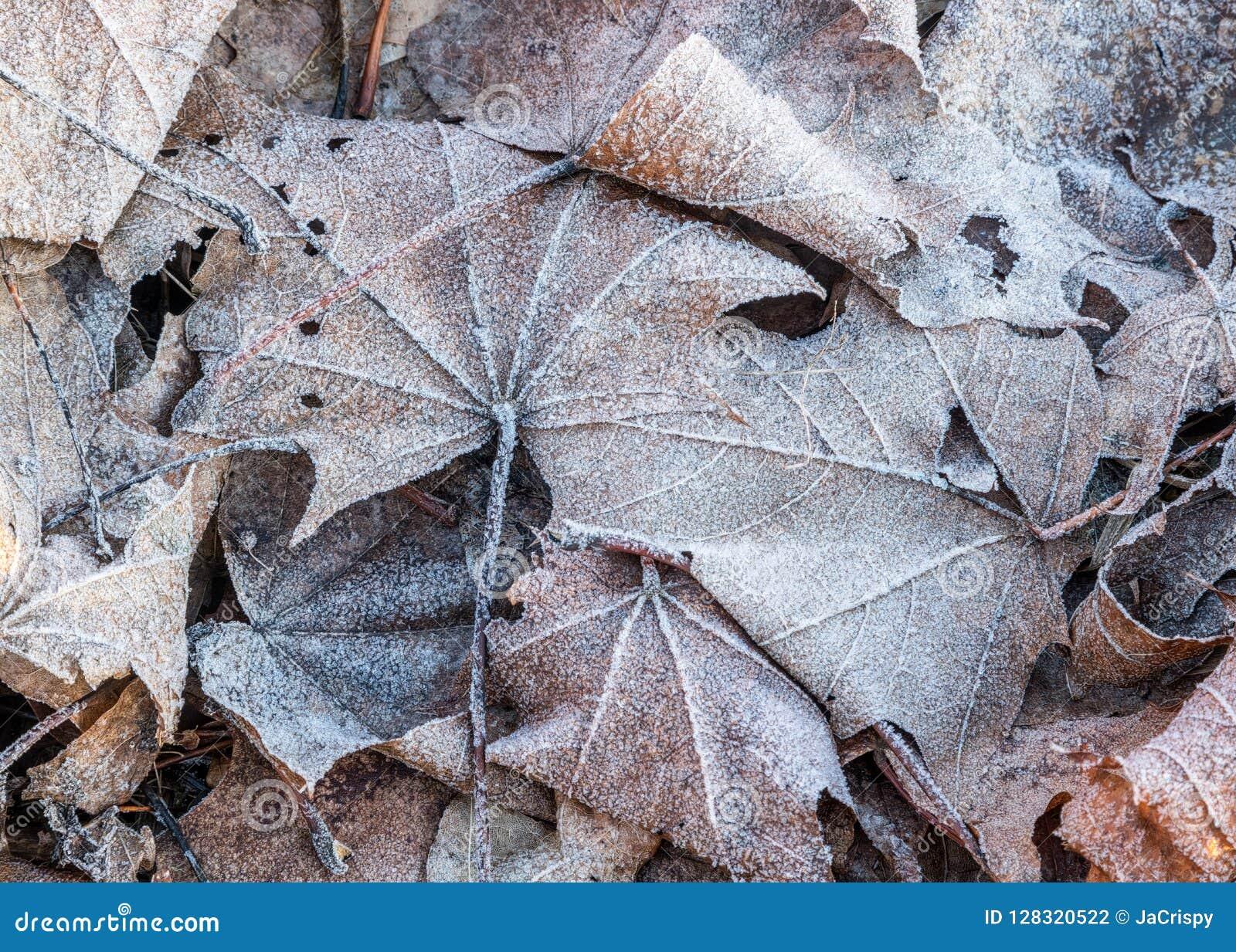 Sluit omhoog van het bevroren blad van de rijpesdoorn onder ijzig gras, blad