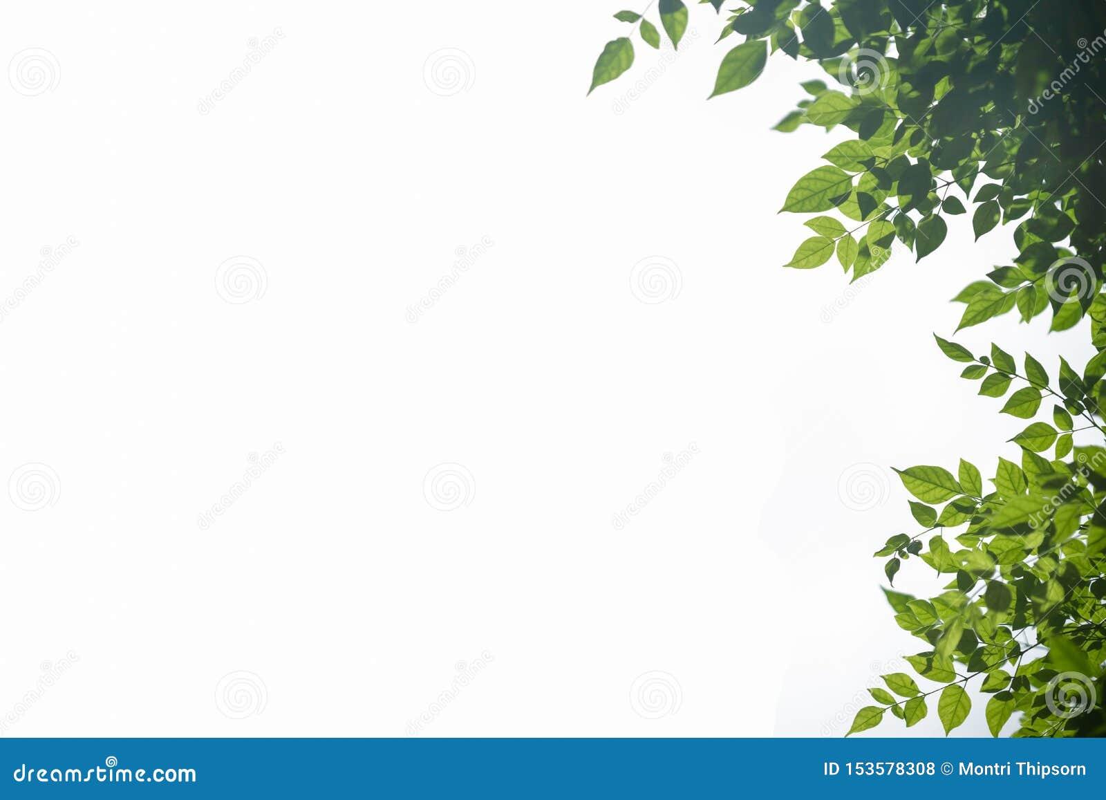 Sluit omhoog van het groene blad van de aardmening met vaag groen op geïsoleerde witte achtergrond met exemplaar het ruimte gebru
