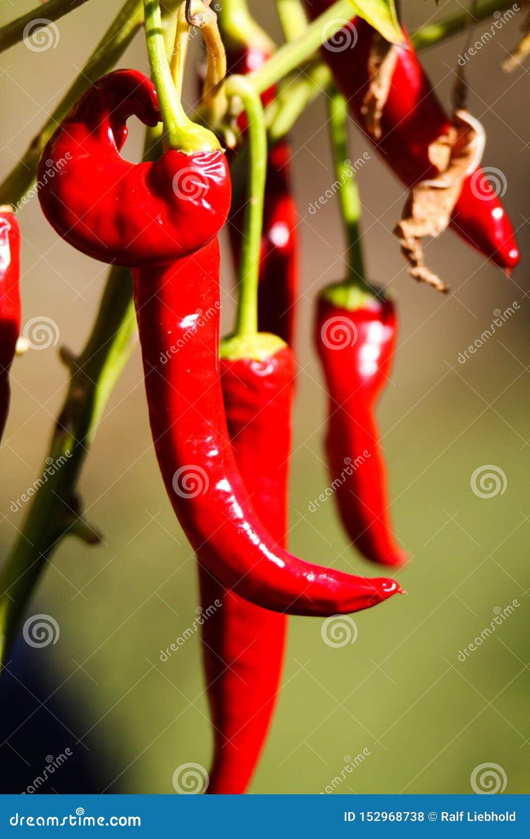 Sluit omhoog van het heldere het glanzen Spaanse peperspaanse peper hangen op installatie in de zon