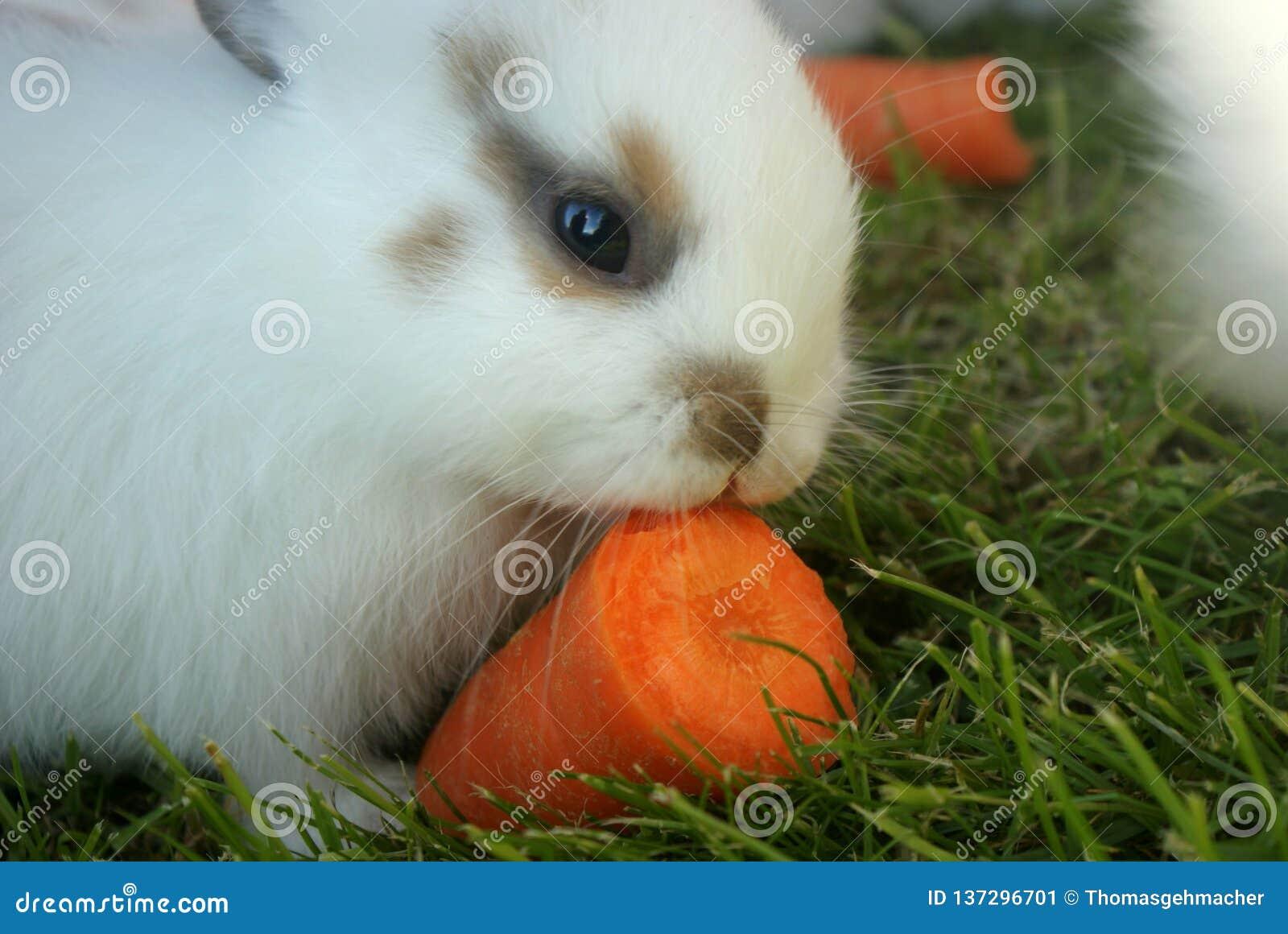 Sluit omhoog van het leuke witte konijntje knagen aan bij een stuk van wortel