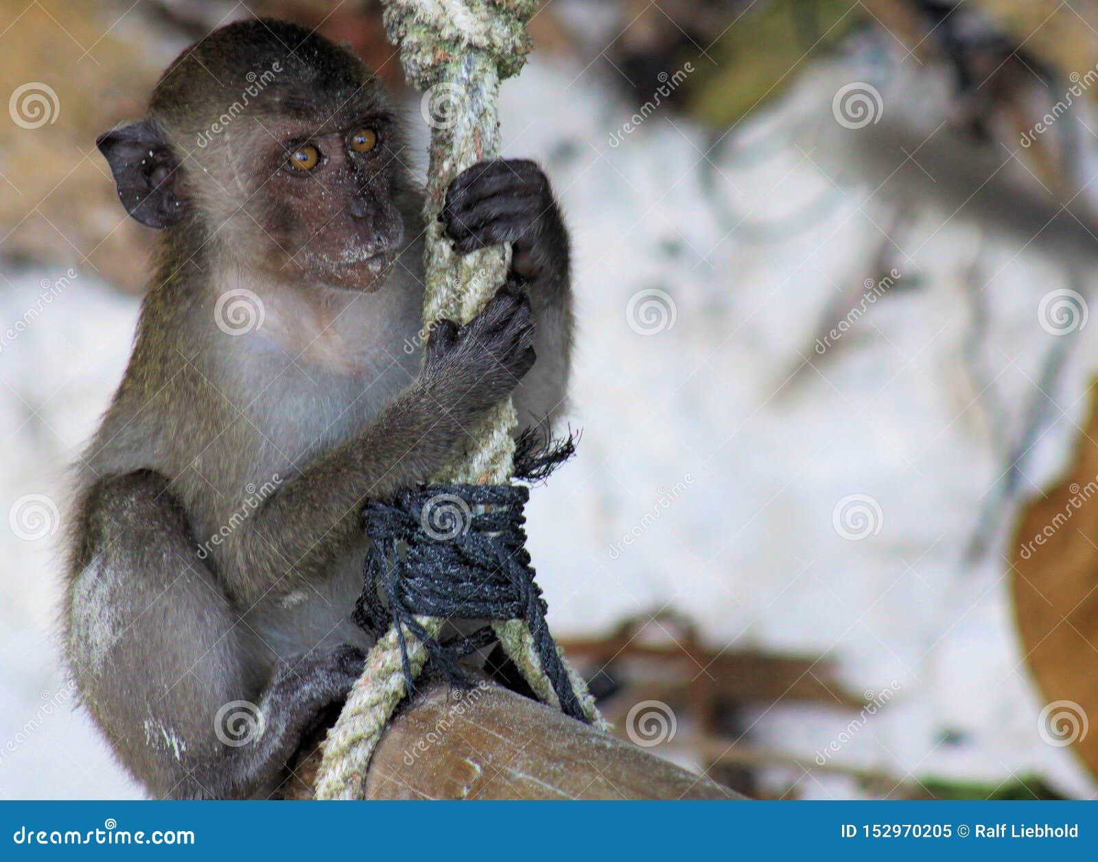 Sluit omhoog van jonge zandige krab die fascicularisschommeling met lange staart van Macaque Macaca op een kabel op strand eten