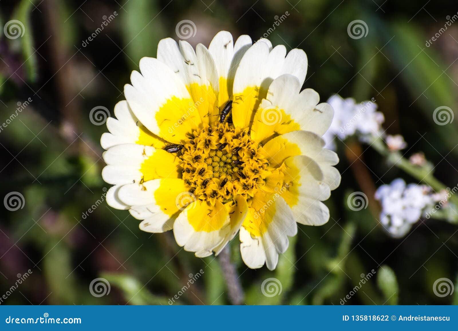 Sluit omhoog van Layia-platyglossa wildflower, algemeen geroepen kusttidytips, insecten dicht bij zijn centrum, baaigebied de Zui
