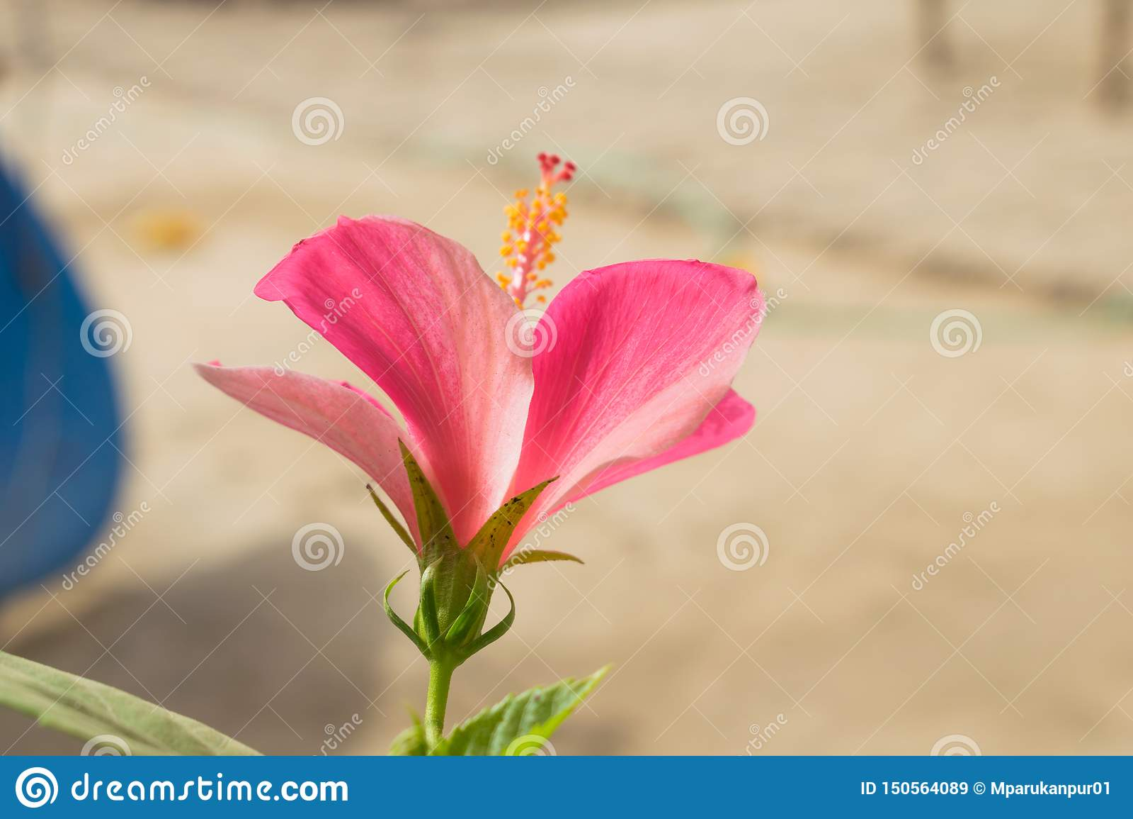 Sluit omhoog van mooie melkachtige roze hibiscusbloem in een tuin