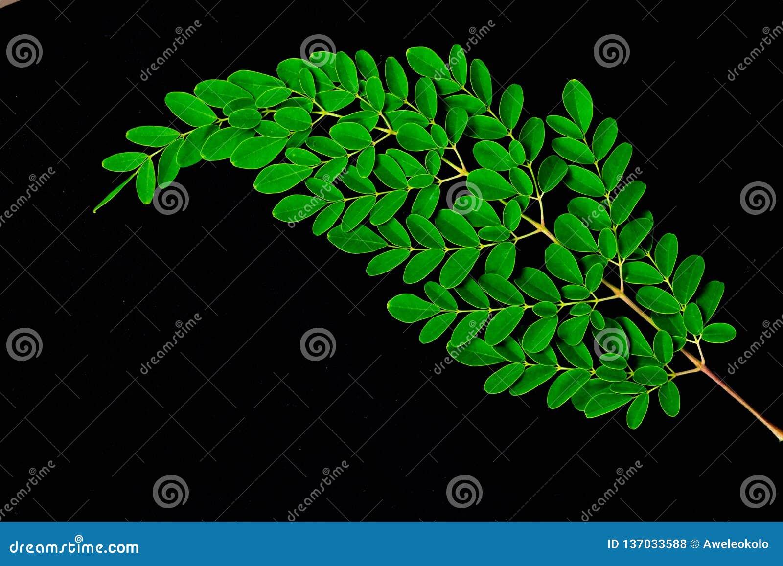 Sluit omhoog van Moringa bladeren op zwarte achtergrond worden geïsoleerd die Moringa Oleifera theebladen op takken met negatieve