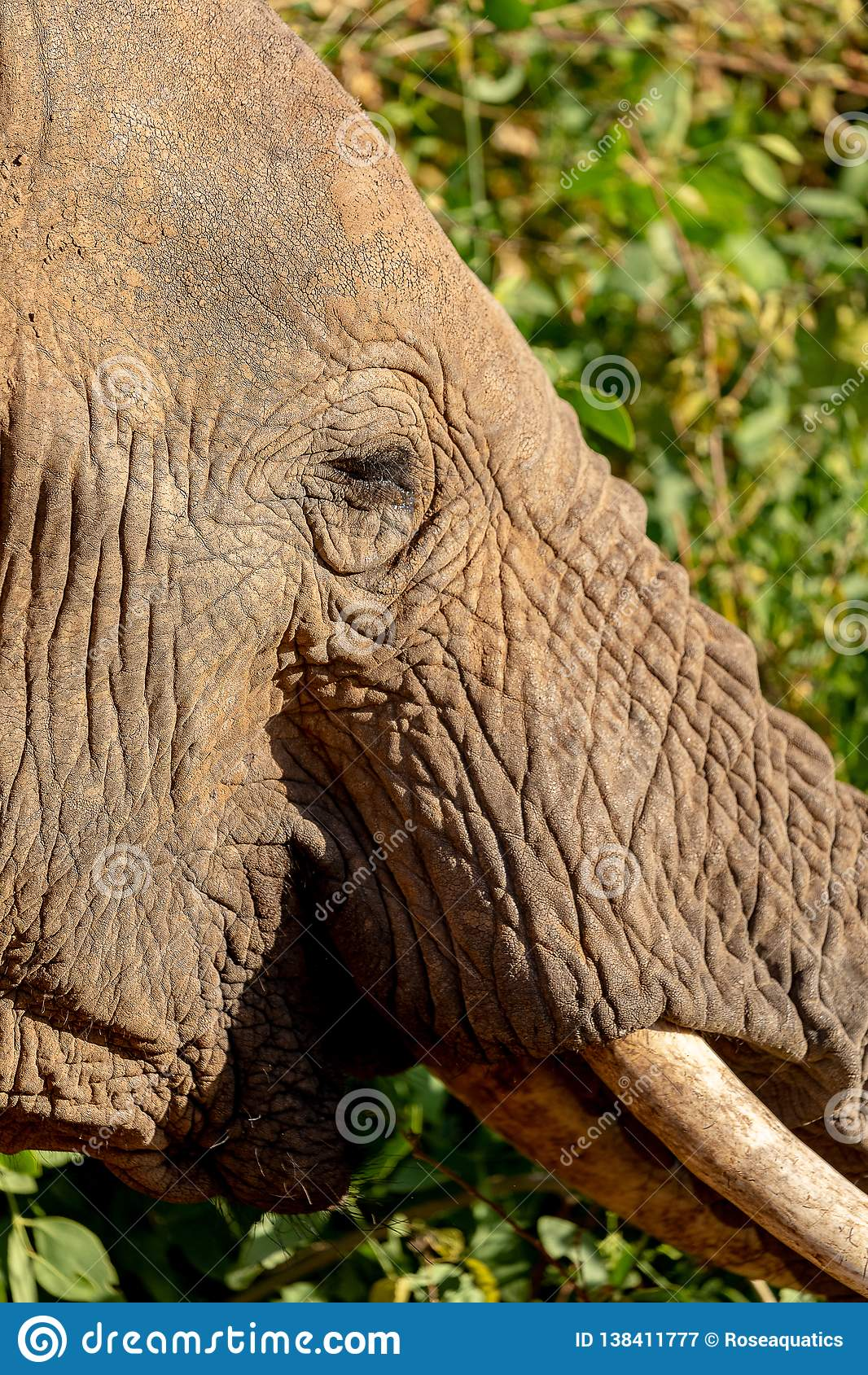 Sluit omhoog van olifant in Kenia op safari