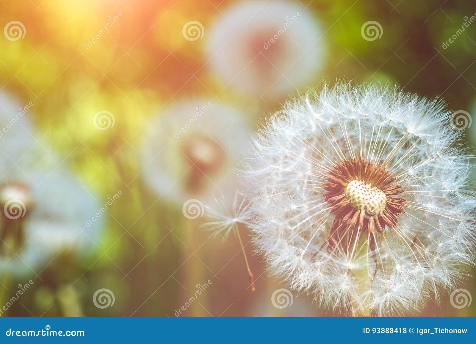 Sluit omhoog van paardebloemen blowball hoofd onder zongloed zijn klaar om zaden met de wind mee te beginnen