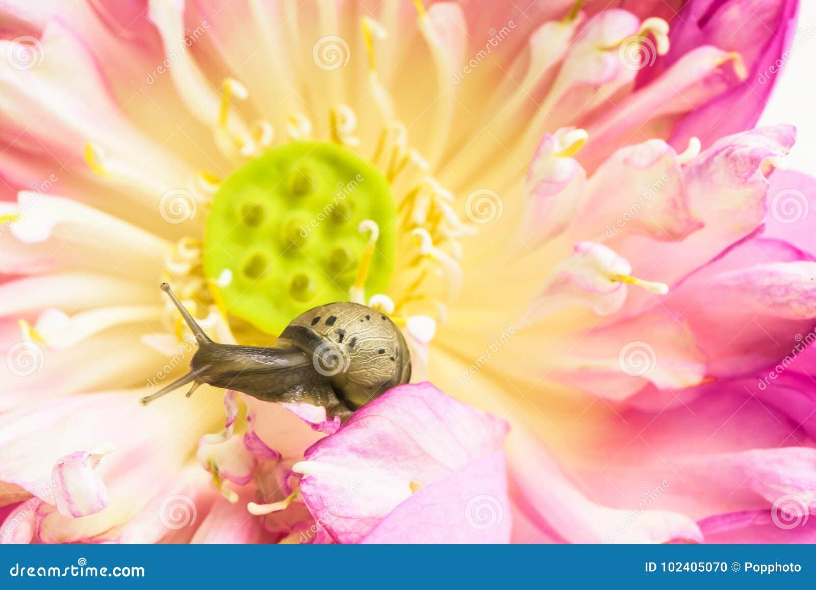 Sluit omhoog van slak op lotusbloembloemen