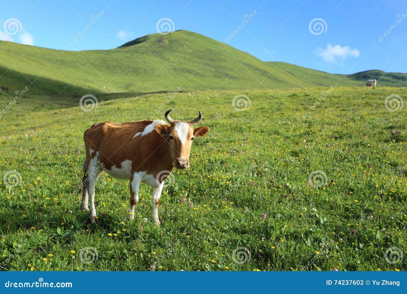 Sluit omhoog van vee op de hoge bergweide