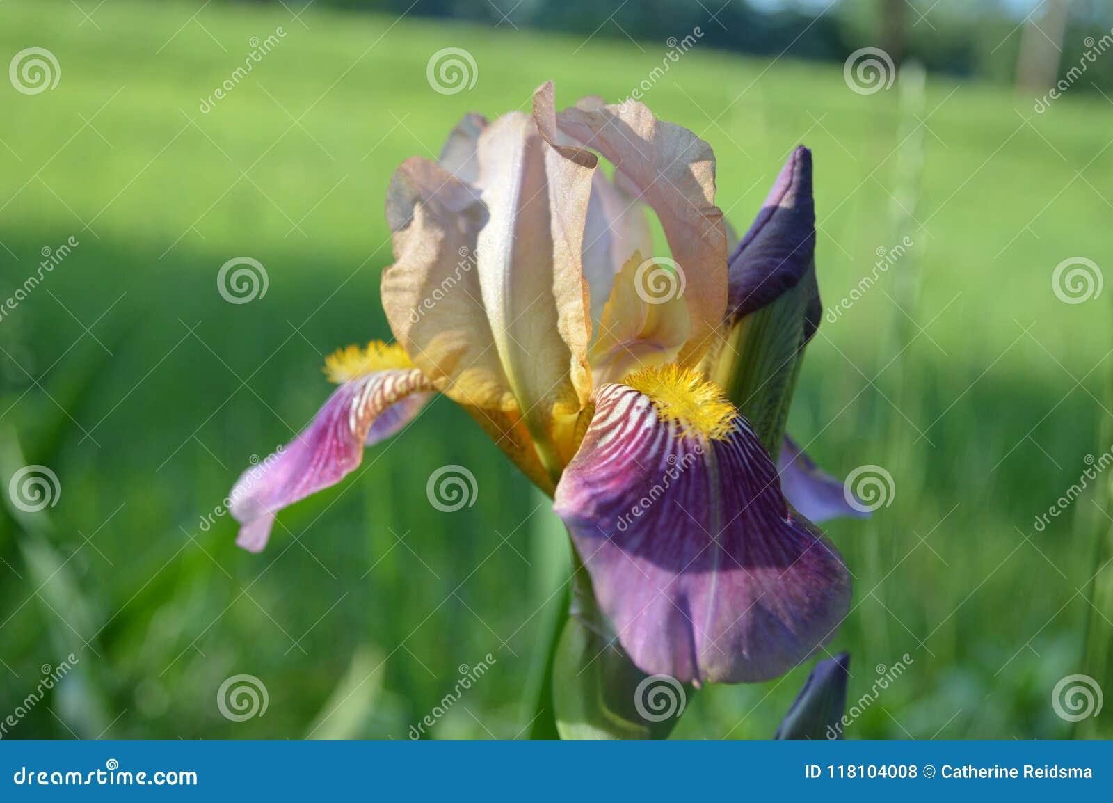 Sluit omhoog van Veelkleurige Iris Flowering
