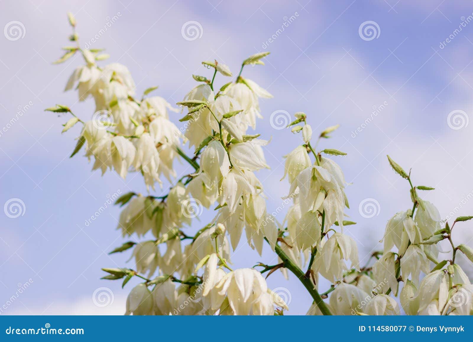Sluit omhoog van vele bloemen van de yuccainstallatie in bloei