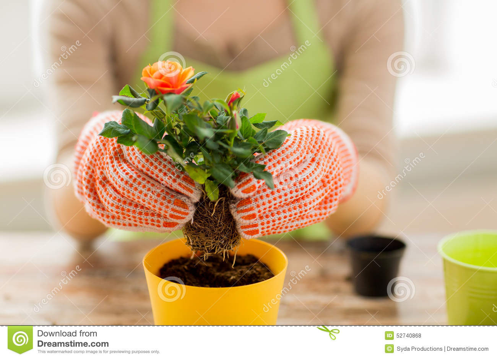 Sluit omhoog van vrouwenhanden plantend rozen in pot
