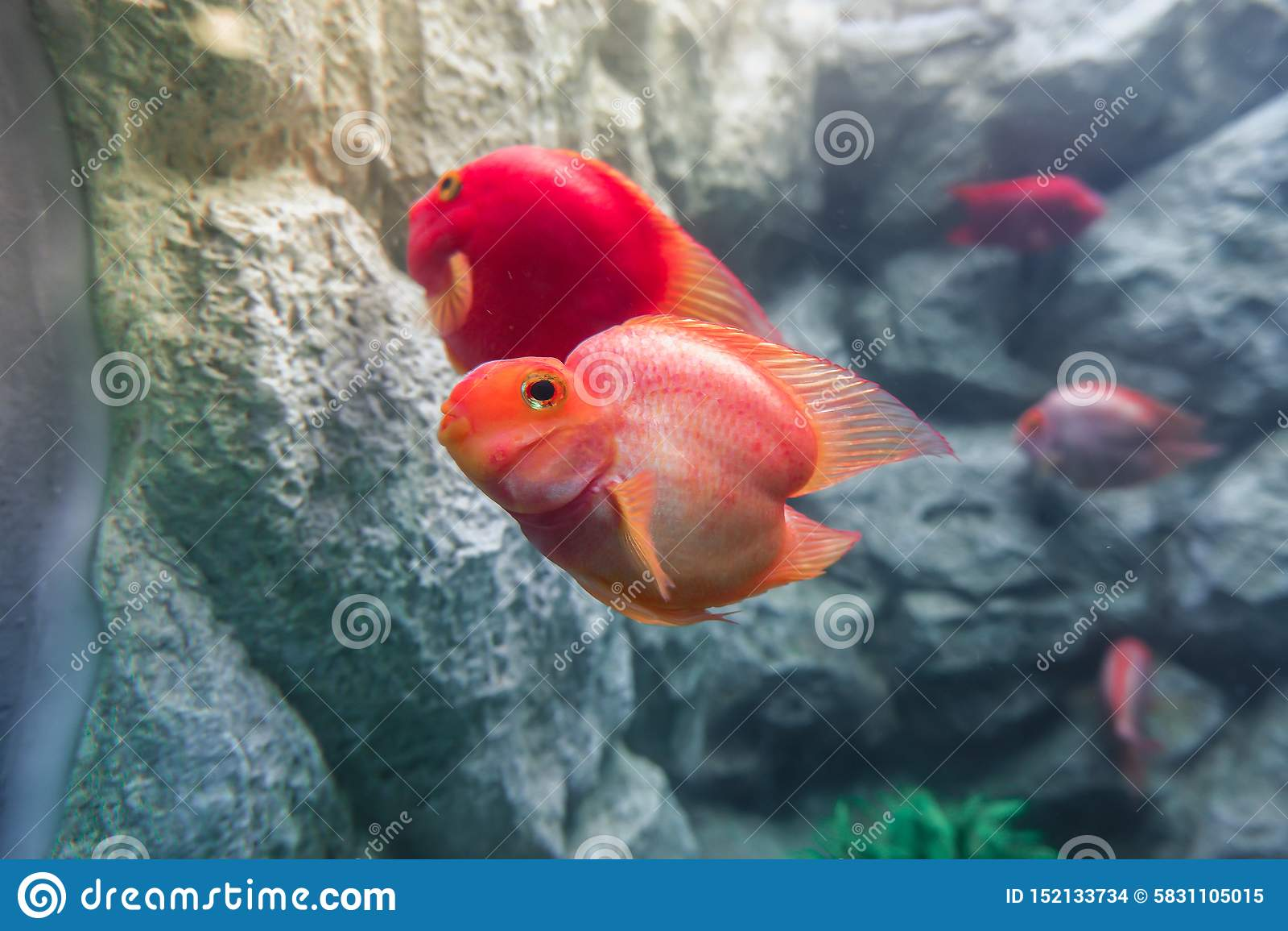 Sluit van van de vissenamphilophus van de bloedpapegaai cichlid citrinellus x Paraneetroplus-omhoog synspilus