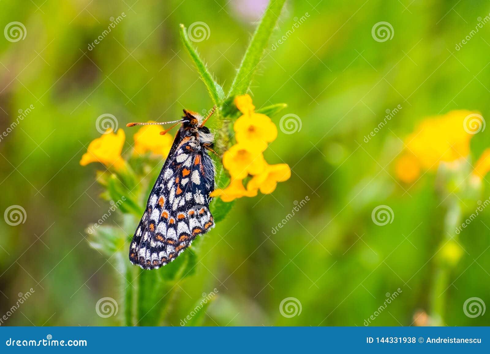 Sluit van de vlinder van Baaicheckerspot omhoog bayensis van Euphydryas Editha; geclassificeerd als federaal bedreigde species, z
