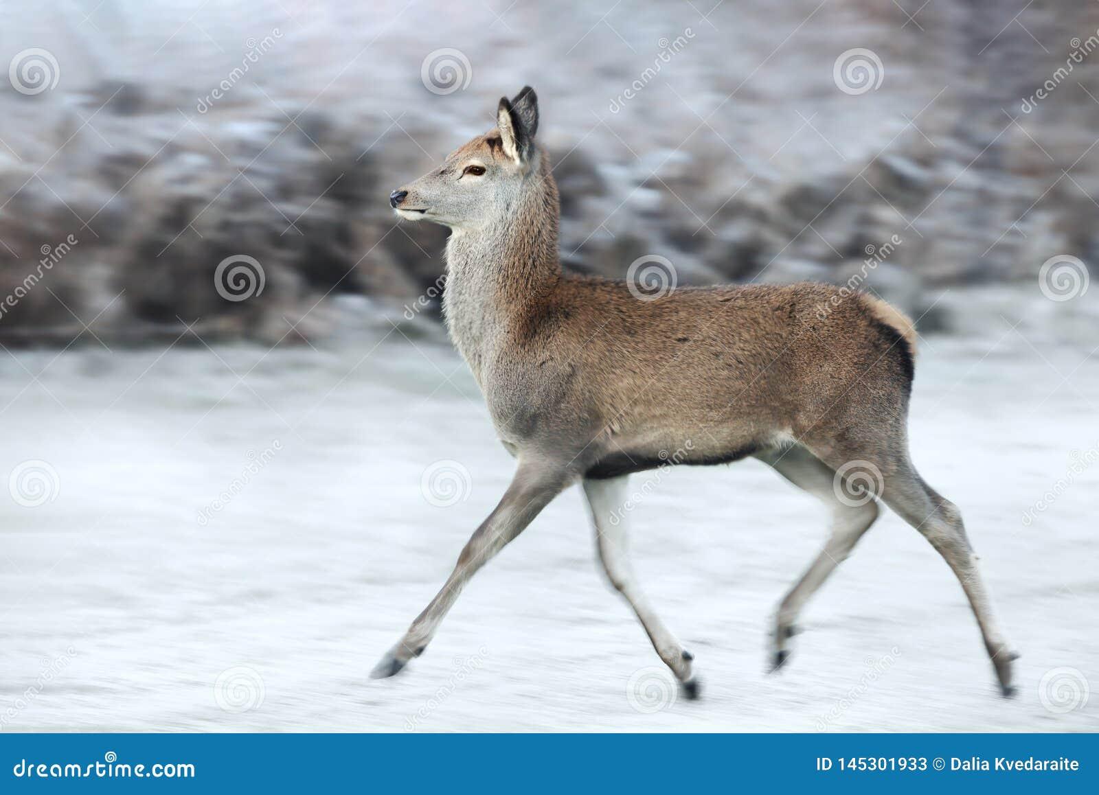 Sluit van een Rood hert omhoog het achterste lopen in de winter