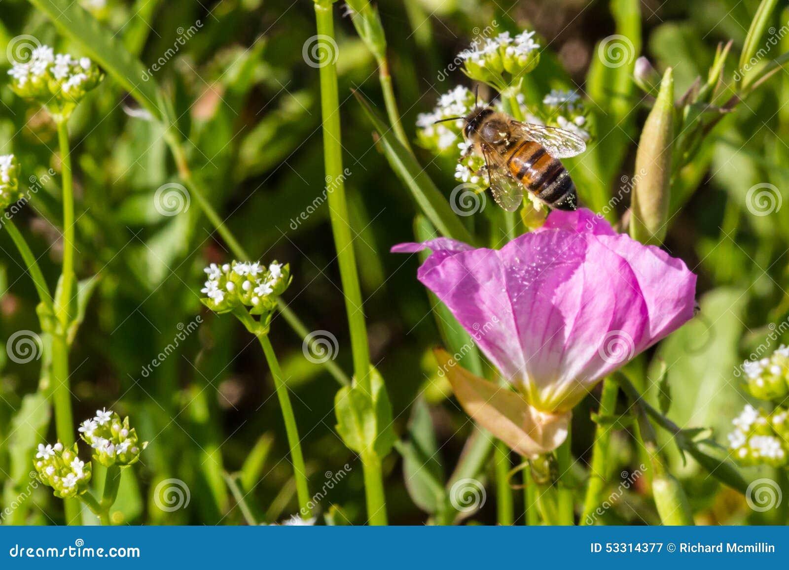 Sluit van Honey Bee Emerging From omhoog Één enkel Texas Pink Evening /Showy Sleutelbloemwildflower
