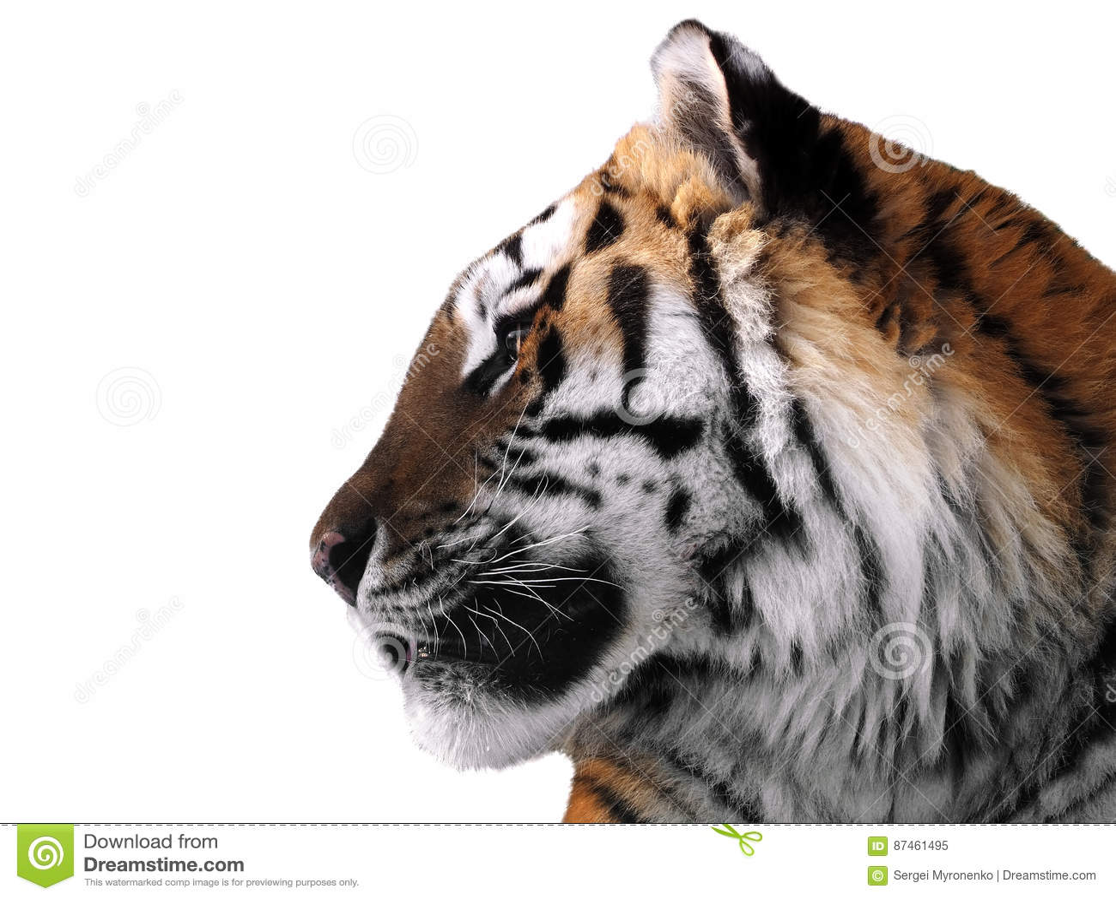 Slut för framsida för tiger` som s isoleras upp på den vita profilen