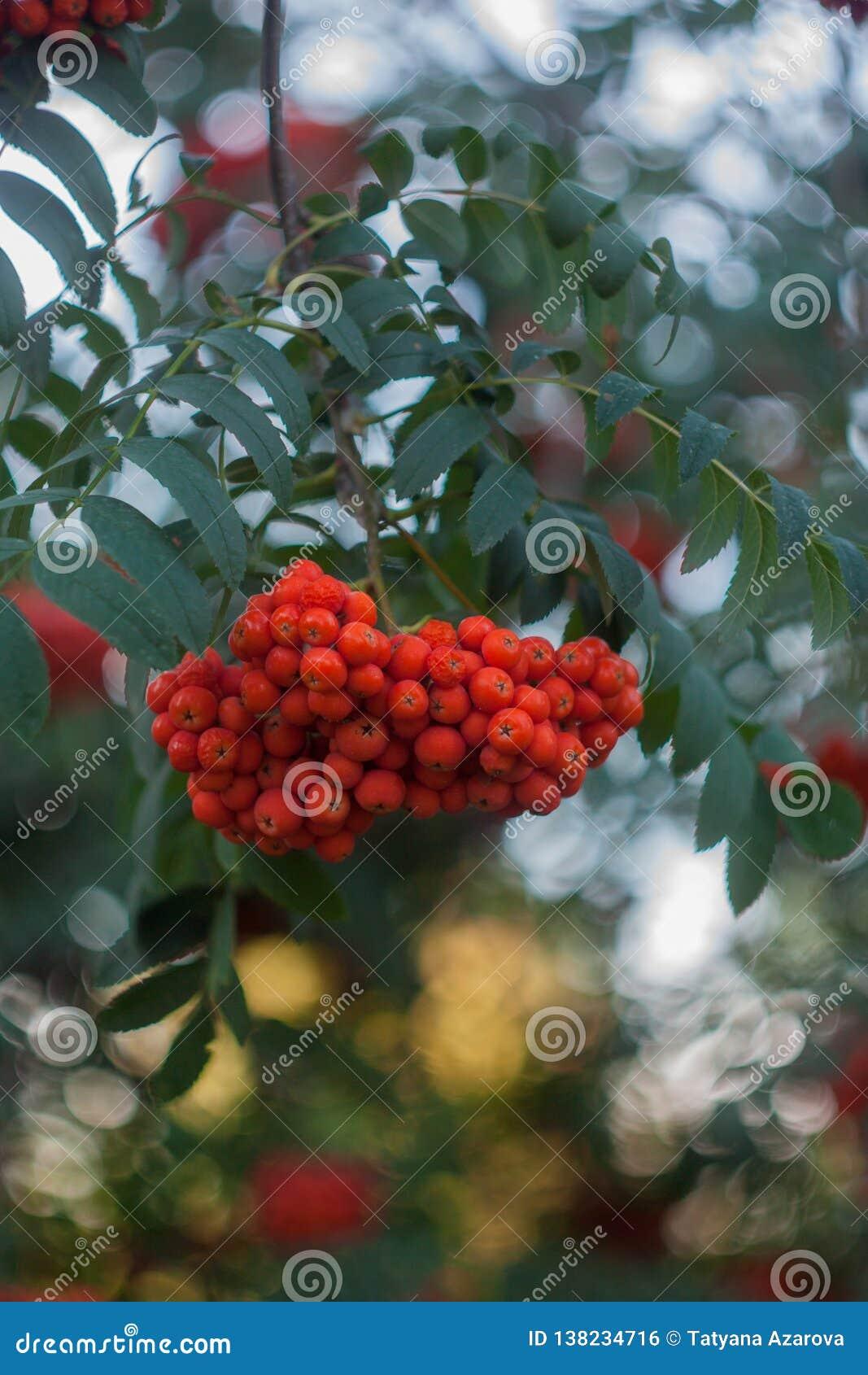 Slut för rönnfilial upp det fria på grön bakgrund, orange rönnbär, naturlig bakgrund, rönnbär på en filial