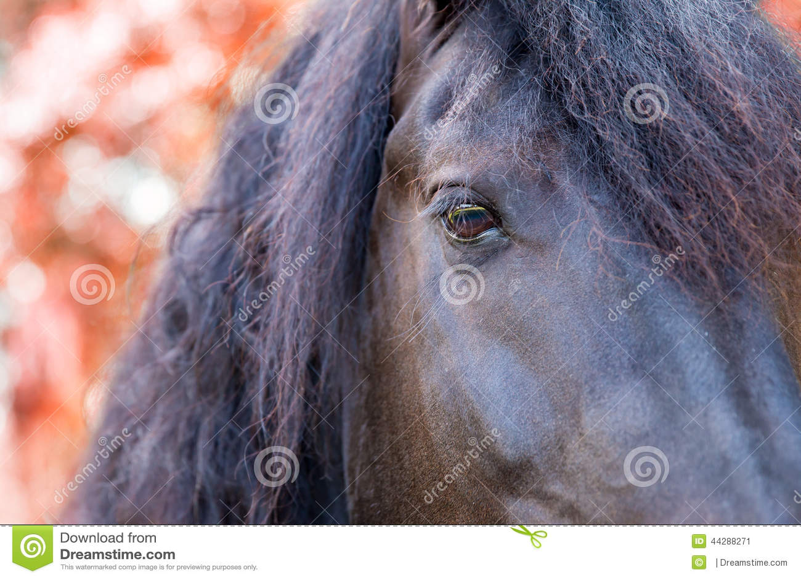 Slut upp öga av för en friesian-/Frisianhäst i höstnedgång