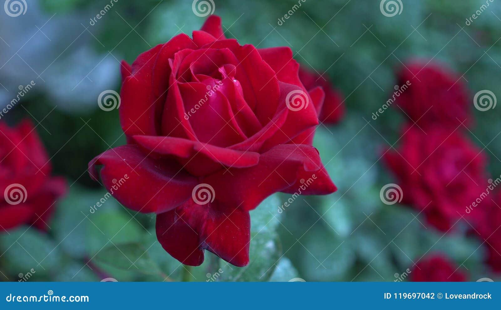 Slut upp av den stora busken som blommar röda rosor i bygdträdgård Grön oskarp naturbakgrund Sommartid