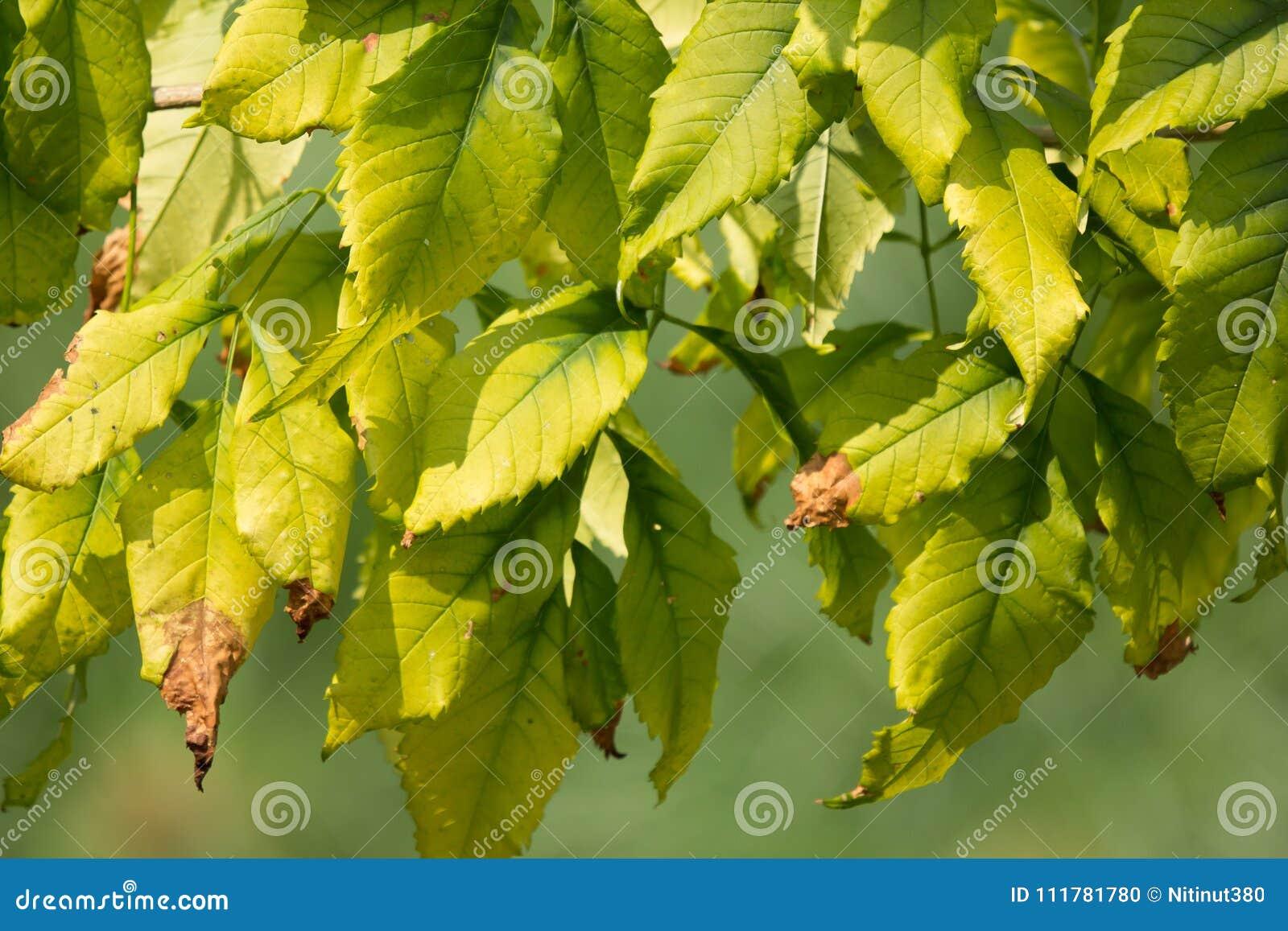 Slut upp av det gröna bladet av den gula fläderblomman