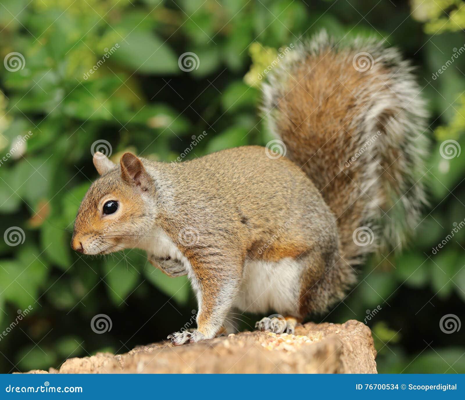 Slut upp av en Grey Squirrel