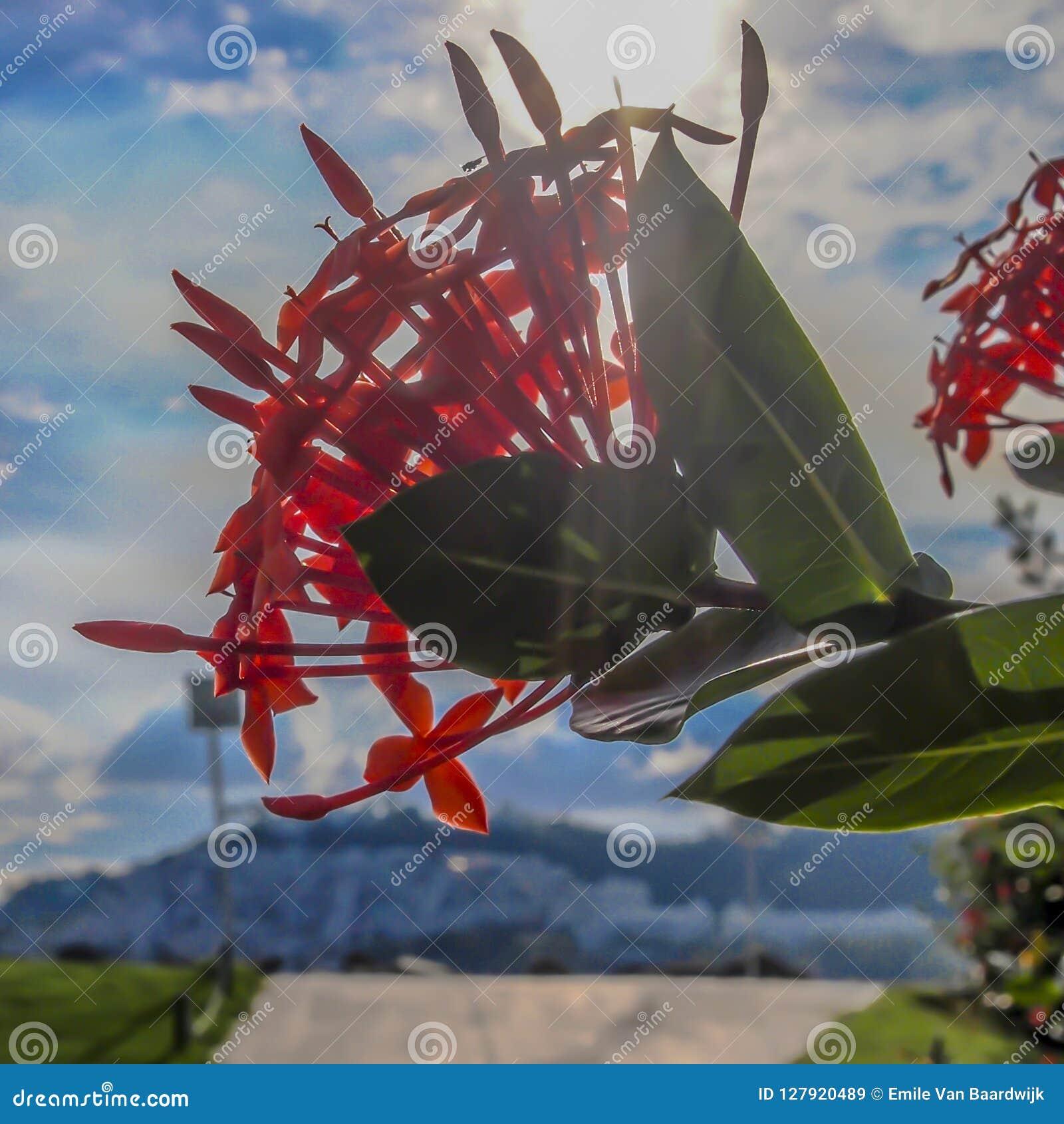 Slut upp av en röd blommadjungelpelargon på ett träd med gräsplansidor och en stråle av solskenbakgrund