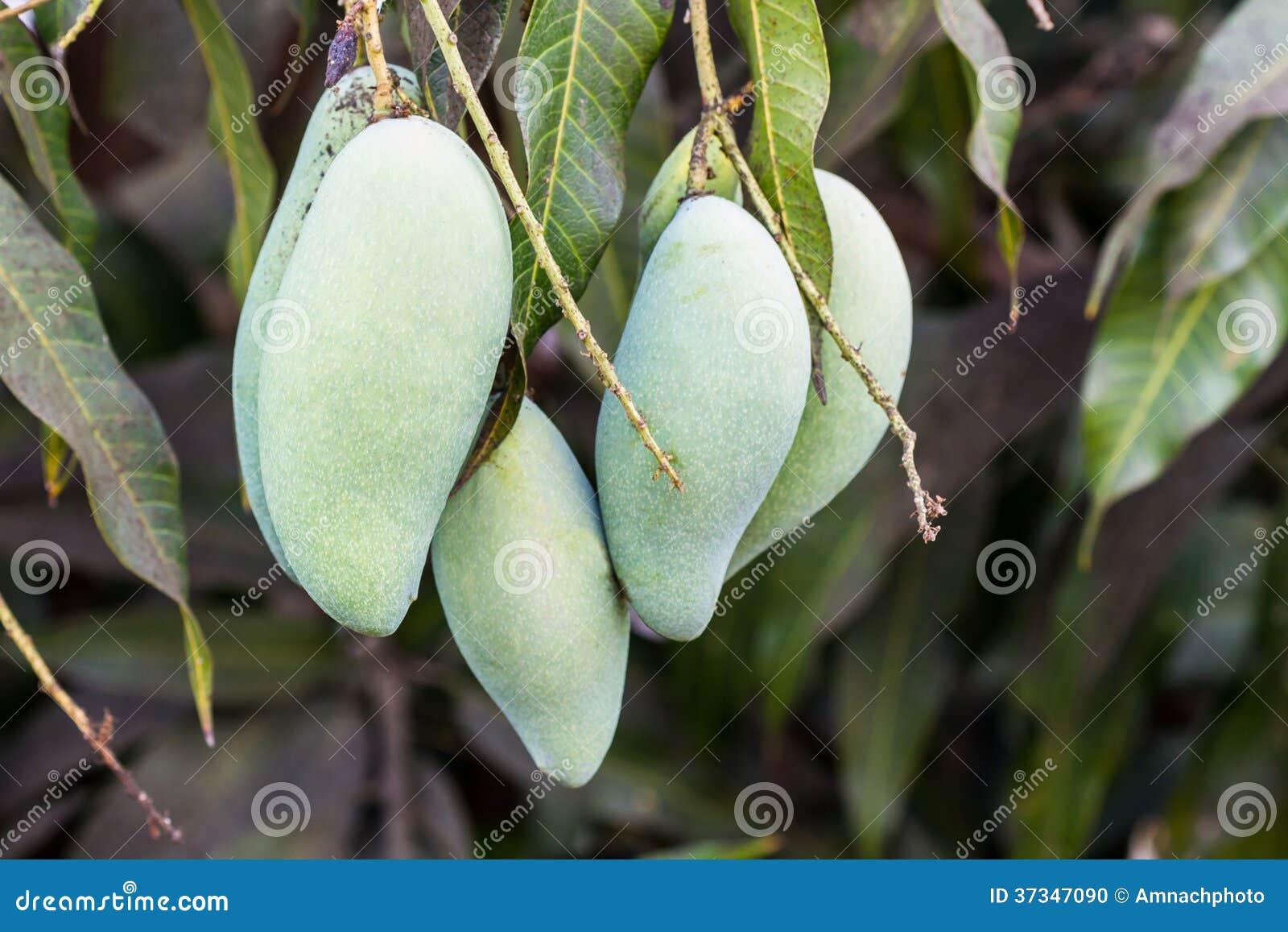 Slut upp av mango.