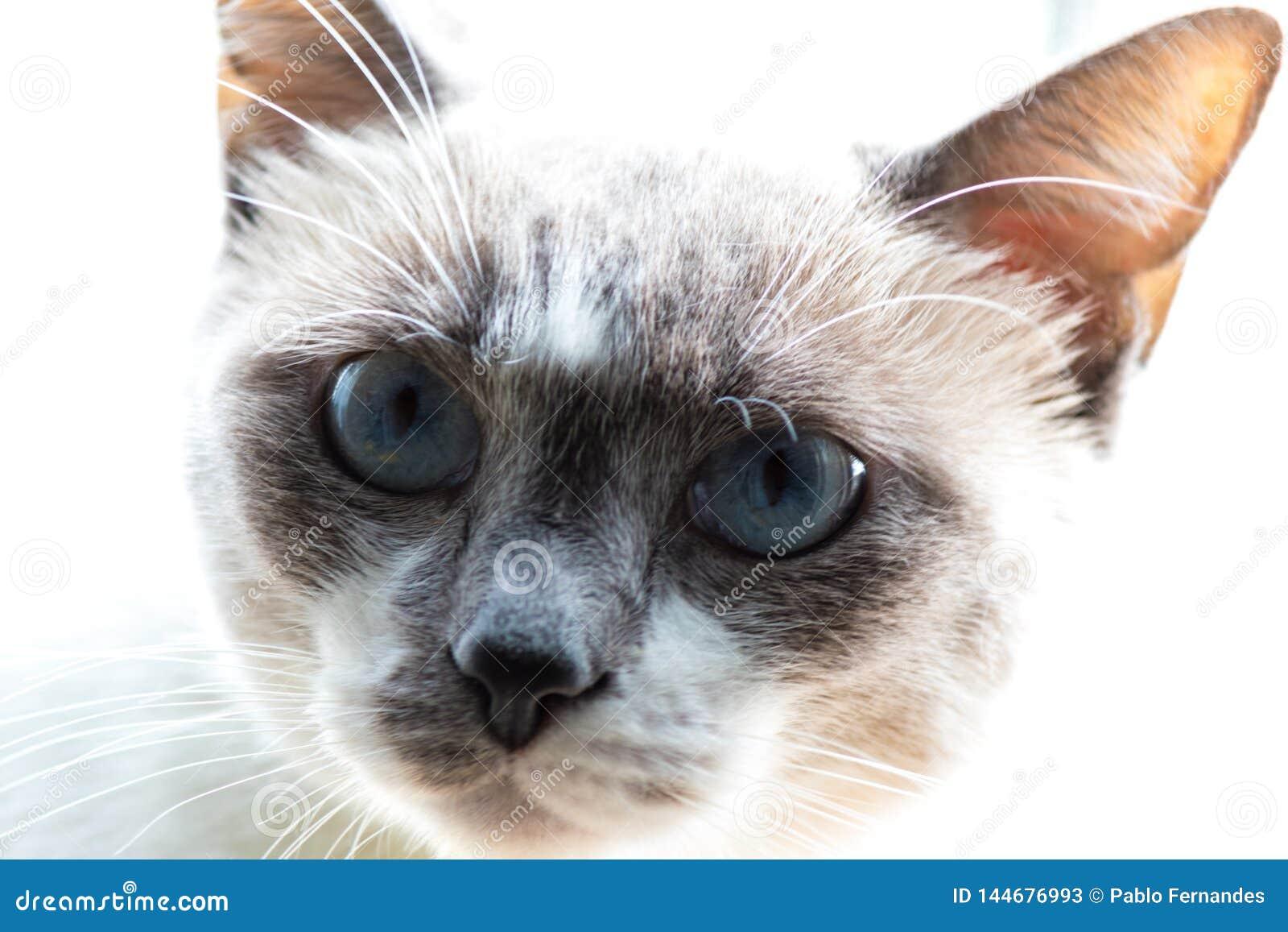 Slut upp blå synad katt