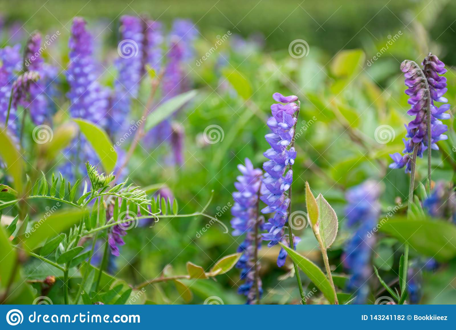 Slut upp blått-violetta blommor i trädgård