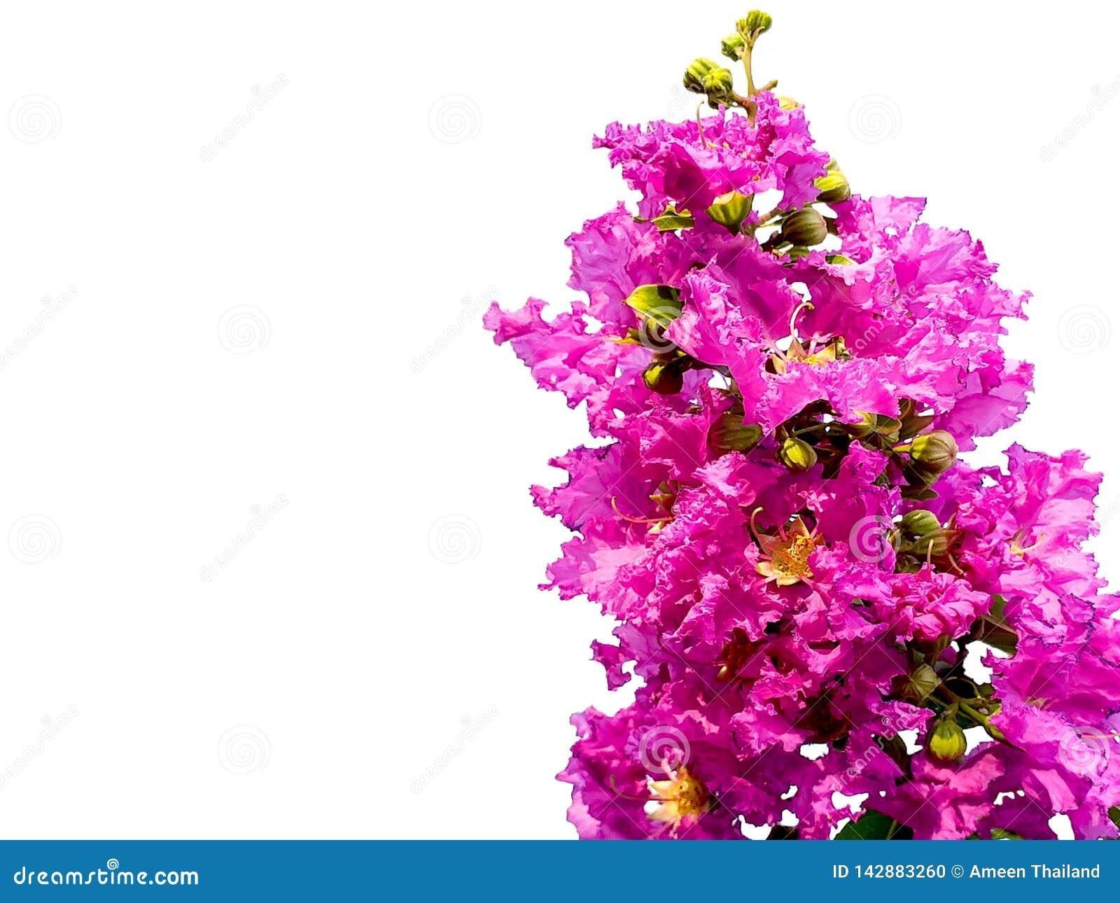 Slut upp blomman för kräppmyrten Purpurfärgade blommor isolerade vit bakgrund