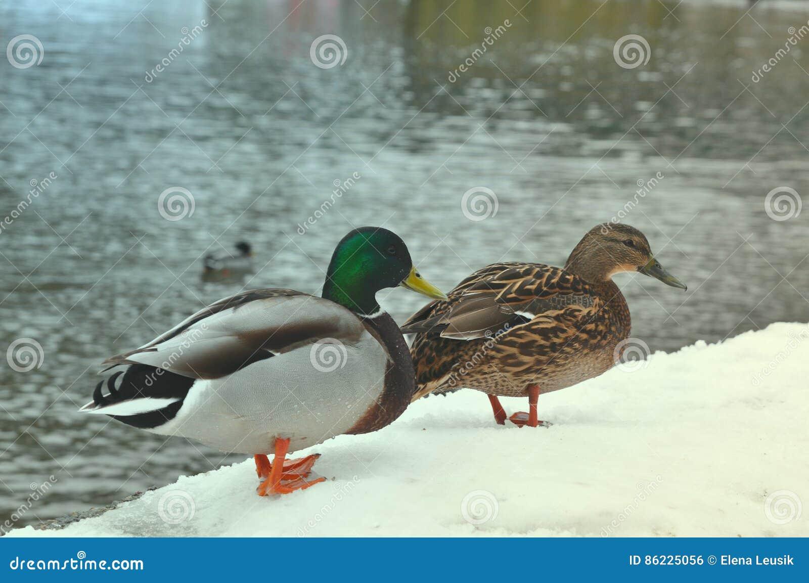 Slut upp brounanden och grön anka för smaragd Två lösa gräsandänder som står på pir som täckas med snö nära floden Lös naturlif