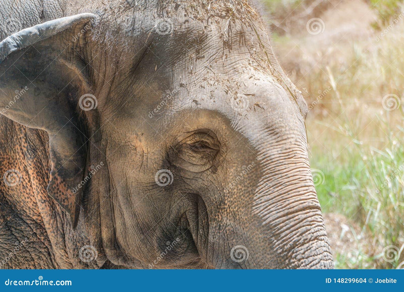 Slut upp den härliga unga kvinnliga asiatiska elefanten som solbadar och kopplar av i morgonsolen Enkla för framsidastående för a