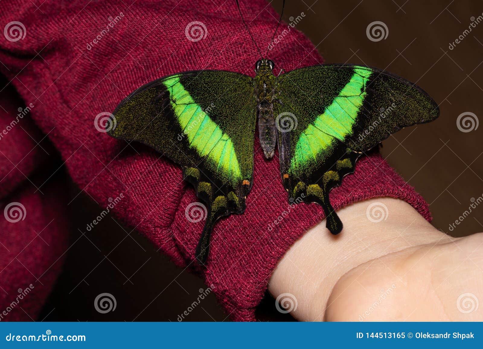 Slut upp fjäril på kvinnahanden Skönhet av naturen