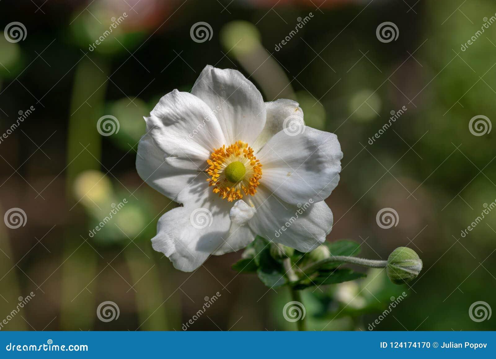 Slut upp fotoet av den japanska blomman för anemonanemonhupehensis