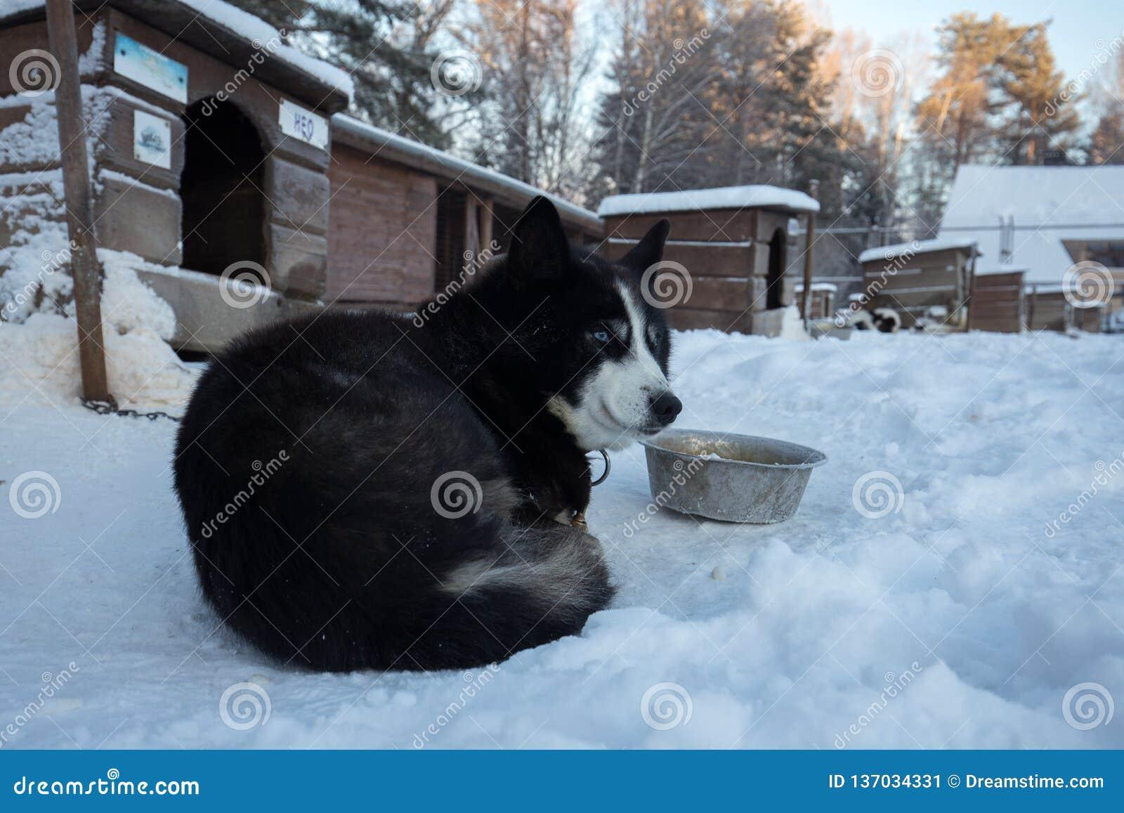 Slut upp härlig hundhuskie i en naturlig miljö