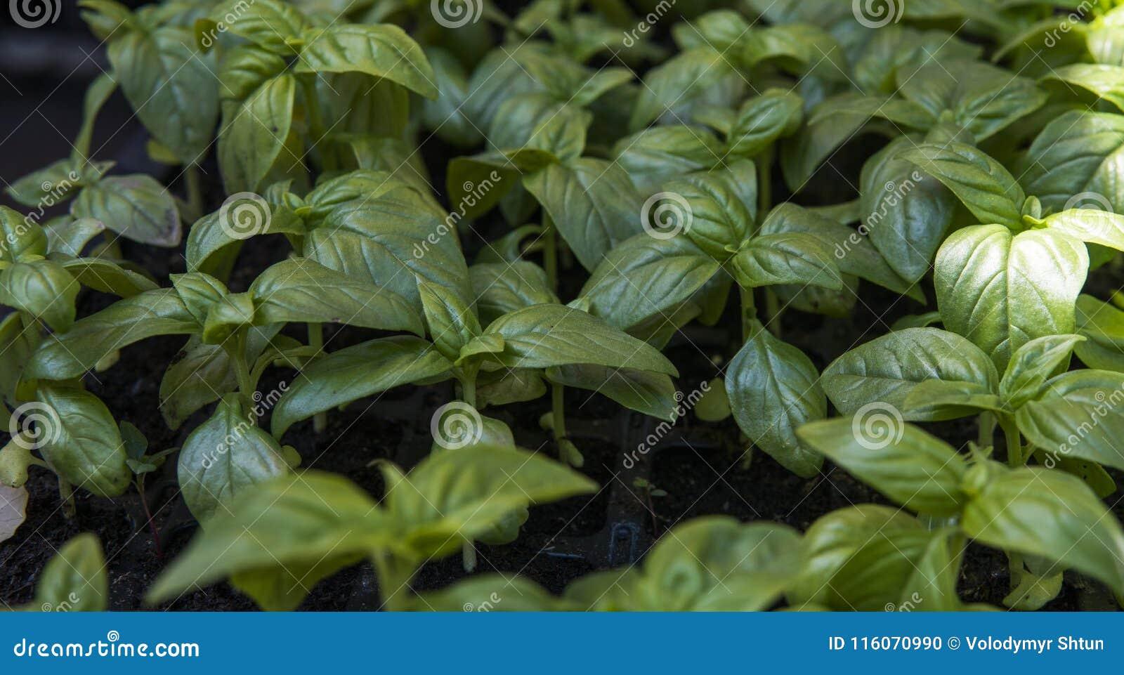 Slut upp på att växa gröna organiska sidor av basilika Sunda diet-matrich i microelements cellulosa och vitaminer
