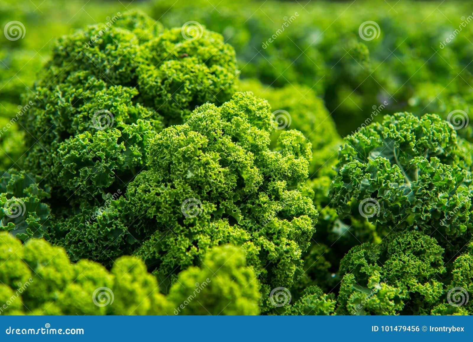 Slut upp på grönkål Gröna grönsaksidor, sunt äta, vegeta