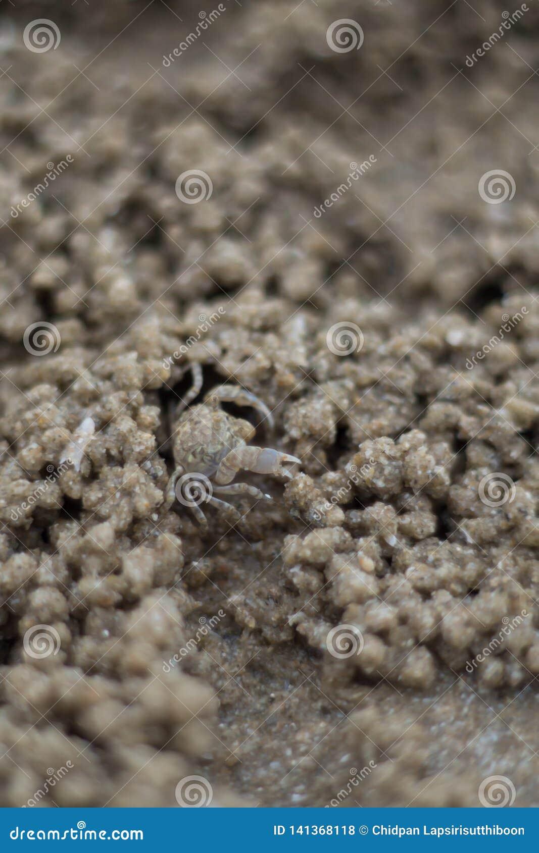 Slut upp SPÖKEKRABBAN som gräver hål in i sanden av stranden
