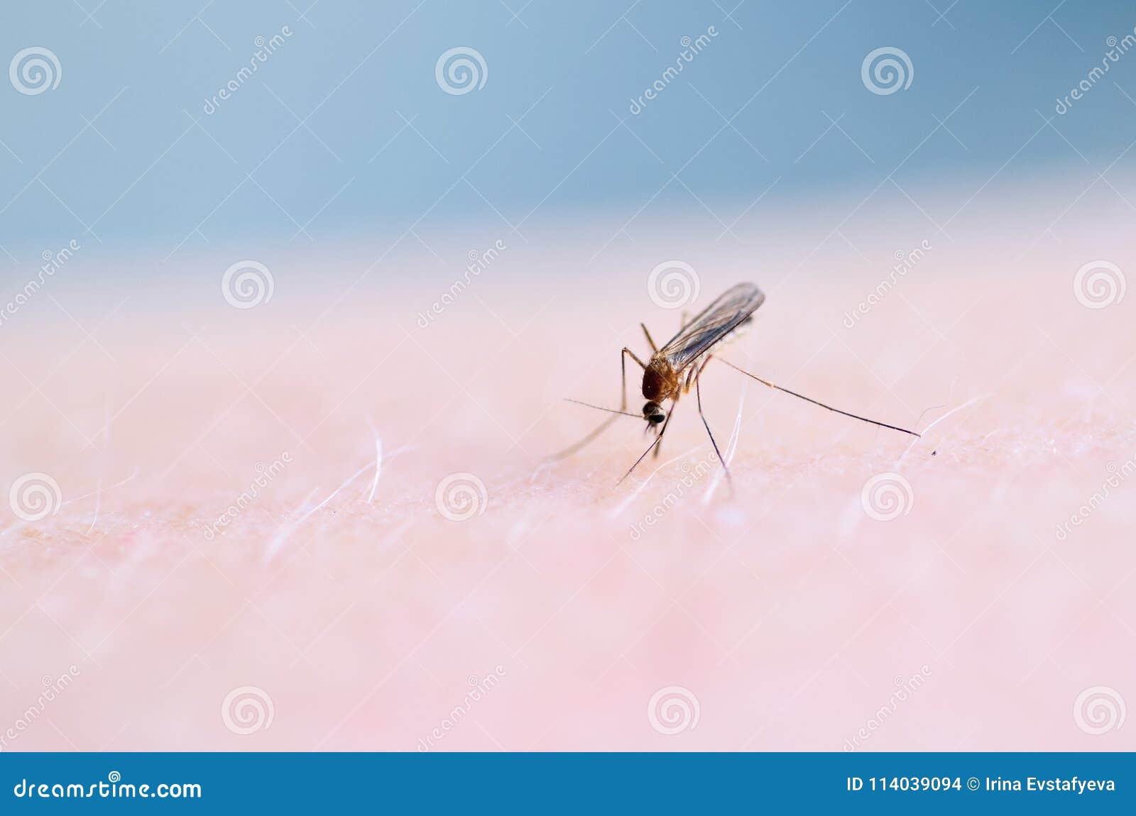 Slutet upp av sugande blod för myggan på mänsklig hud, mygga är bäraren av malaria encephalitis DenguefeberZika virus