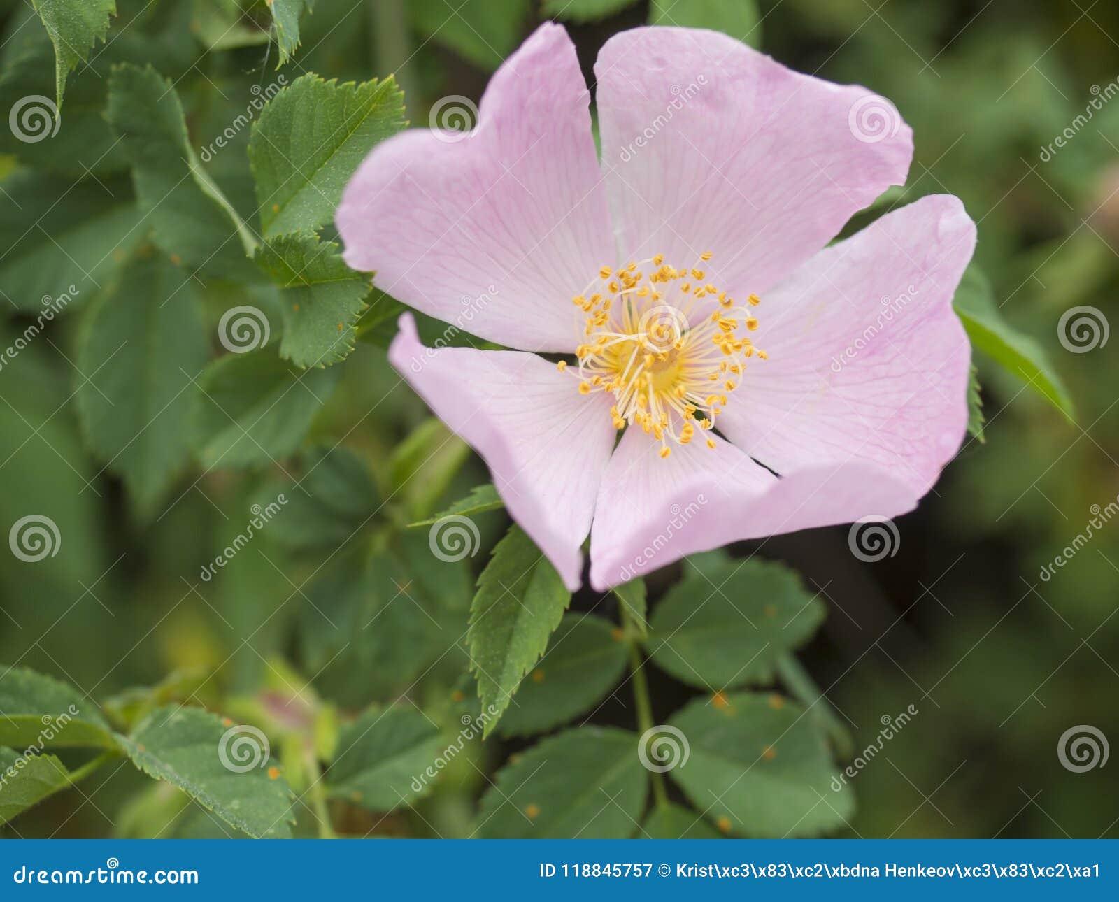 Slutet upp för rosblomma för enkel blommande rosa törnbuske lös hund steg