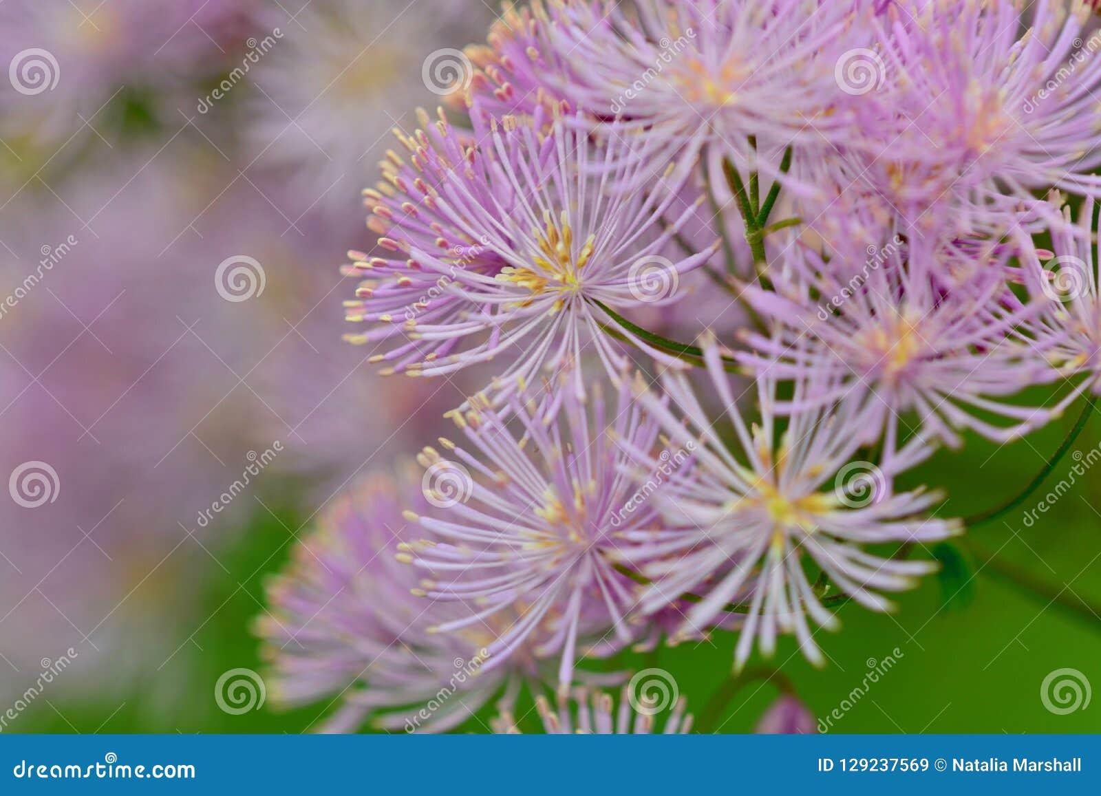Slutet upp fotoet av rosa färger blommar och att likna fyrverkerier
