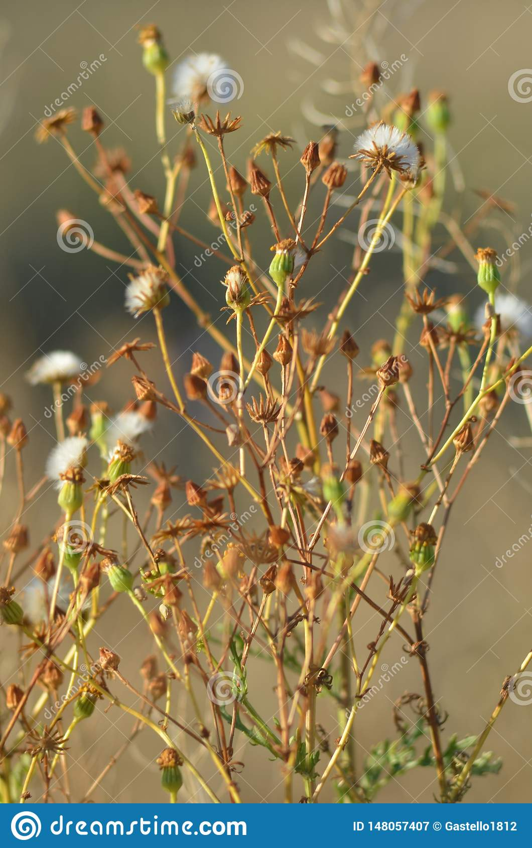 Små blommor, härlig tappningbakgrund för maskrosor, sol- belysning för natur