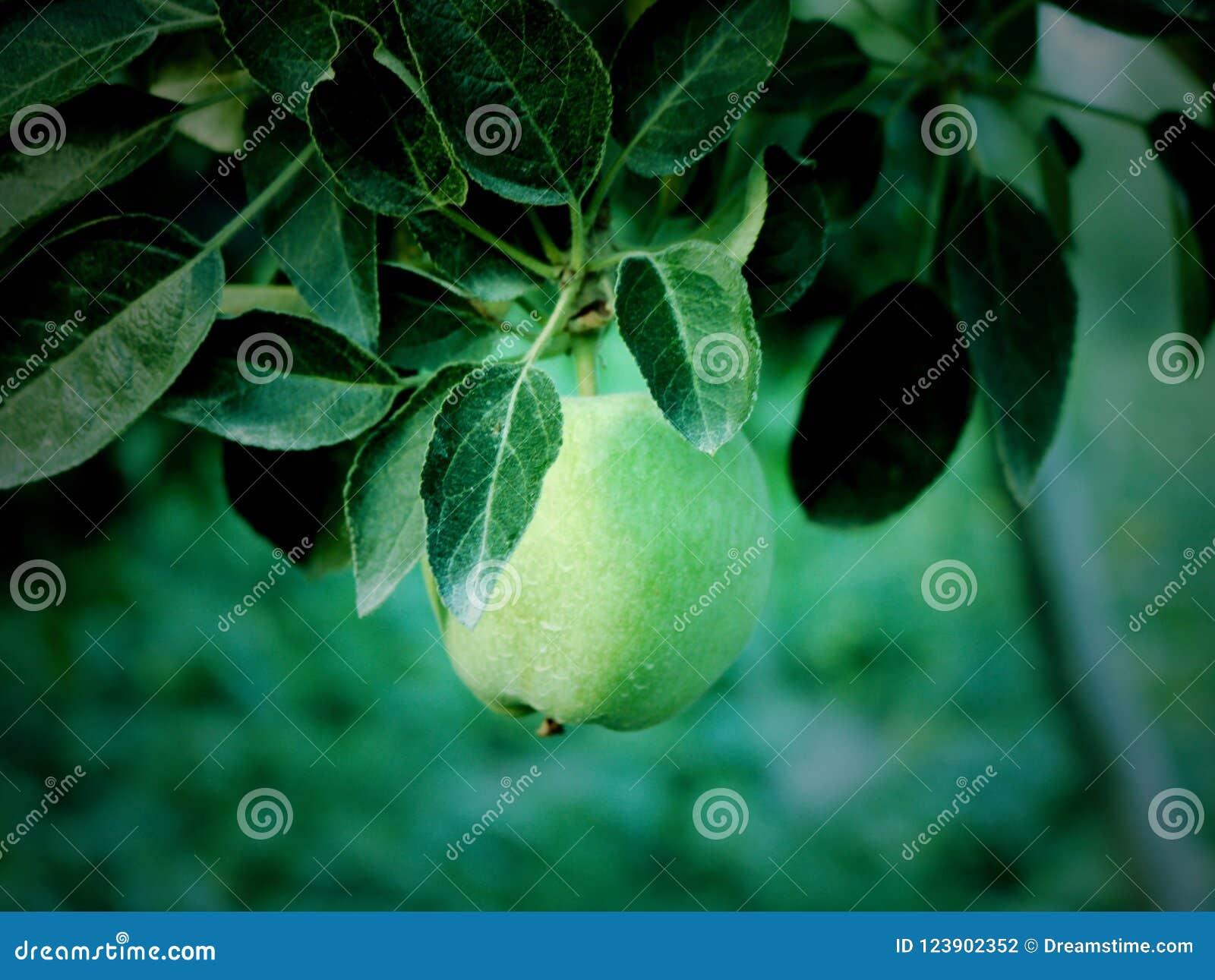 Små gröna äpplen i Kashmir Valley Indien