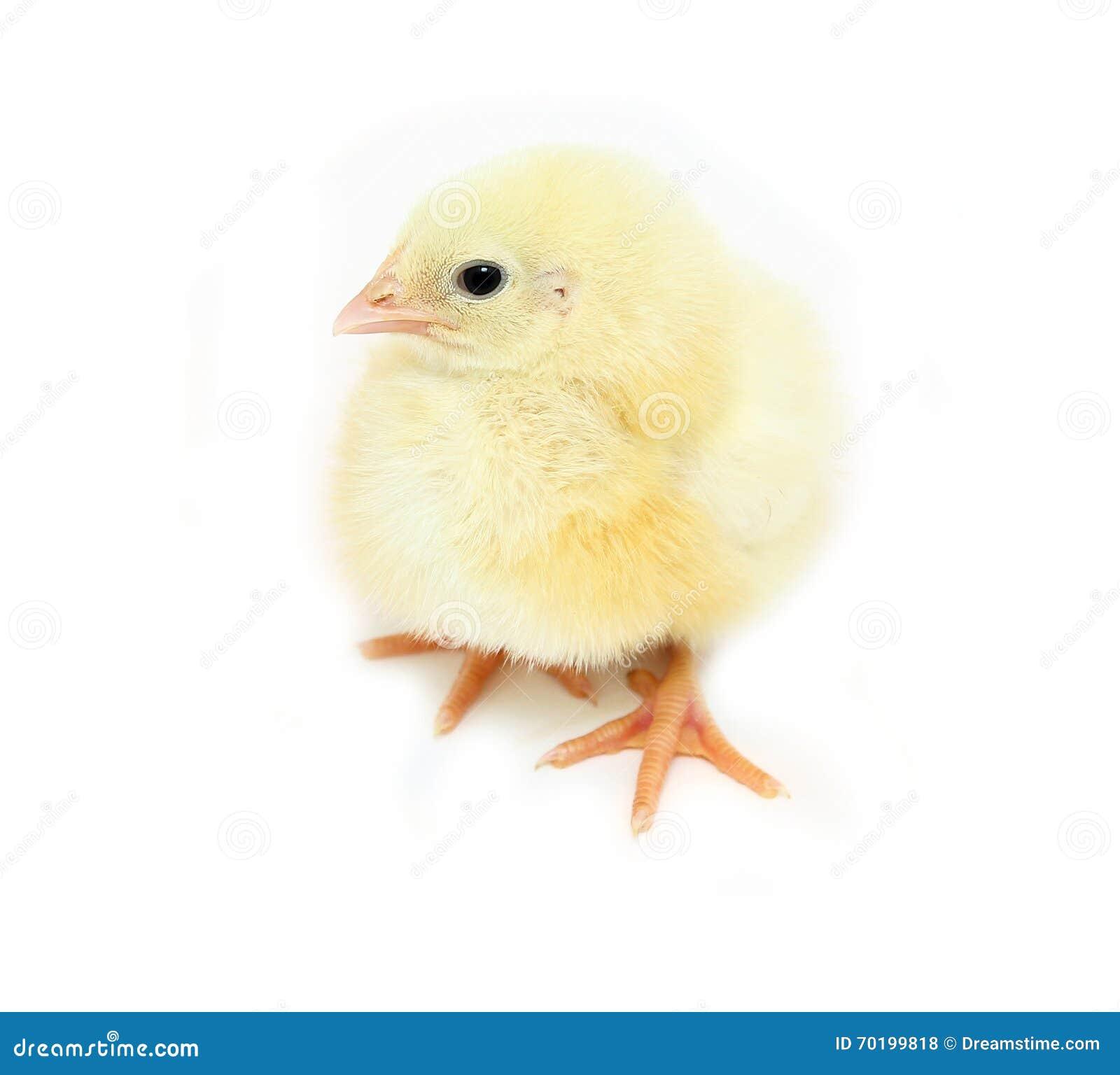 Små gula fågelungar för gröngölingar