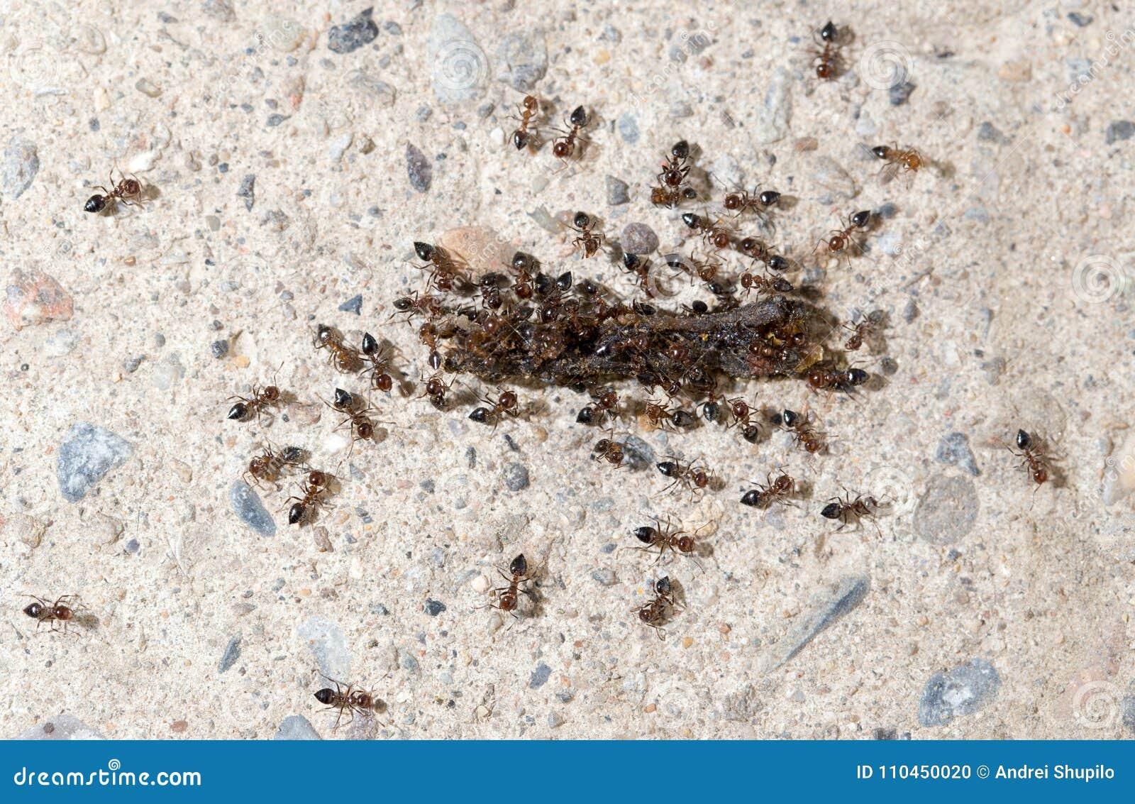 Små myror äter avmaska Makro
