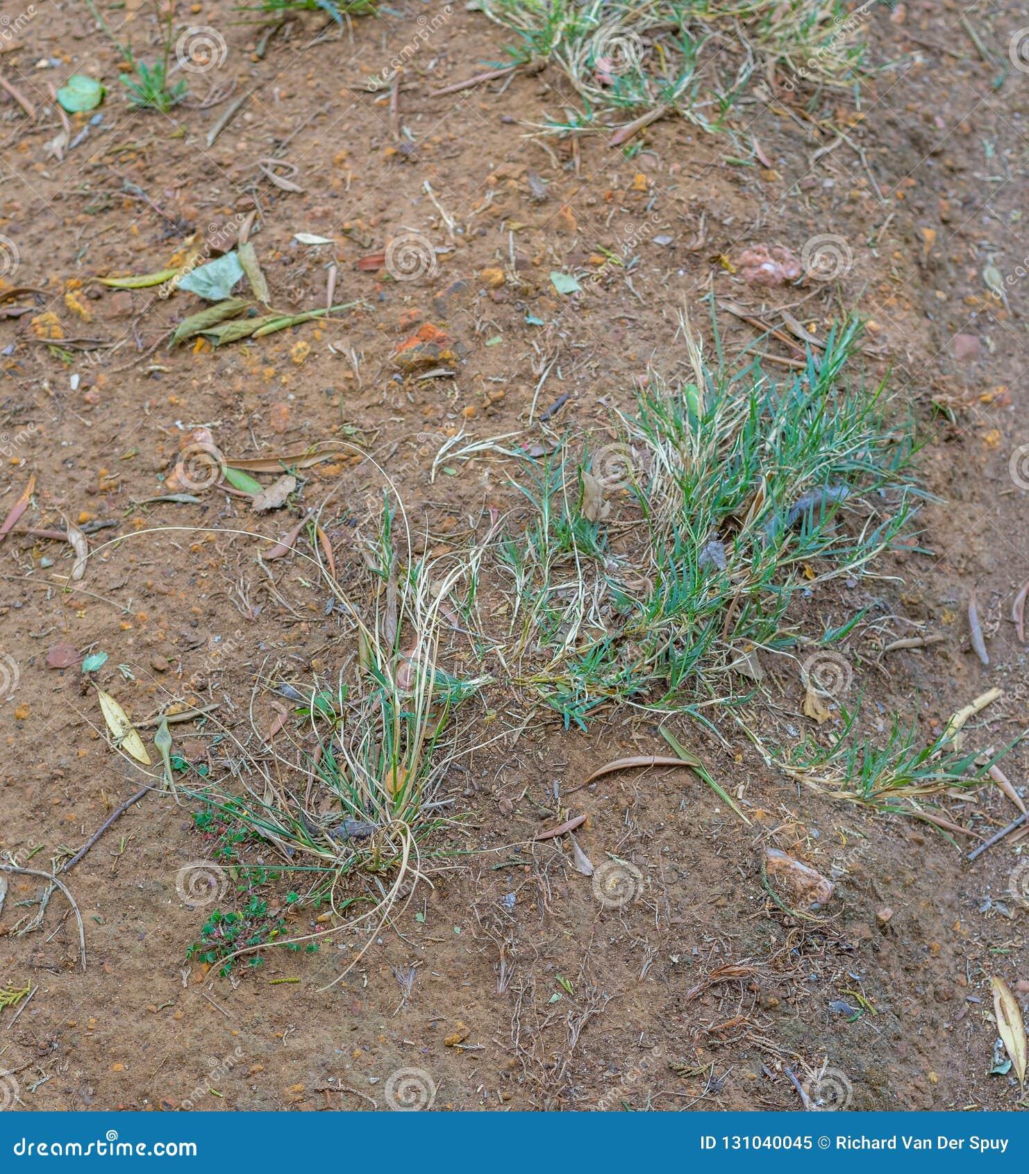Små ogräs fortlever i lapp av torr jord