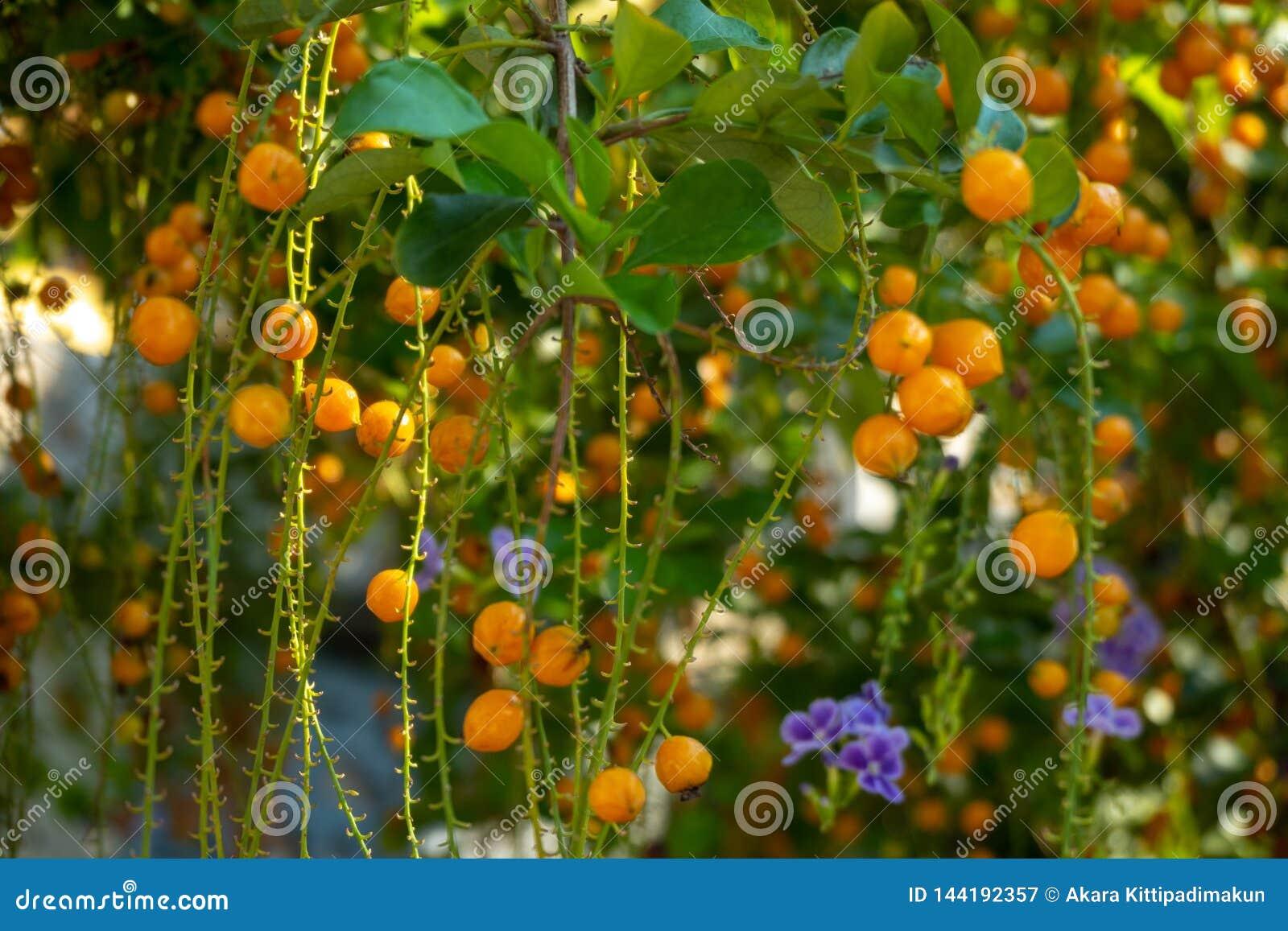 Små orange bär av durantaen med solsken på suddig bakgrund