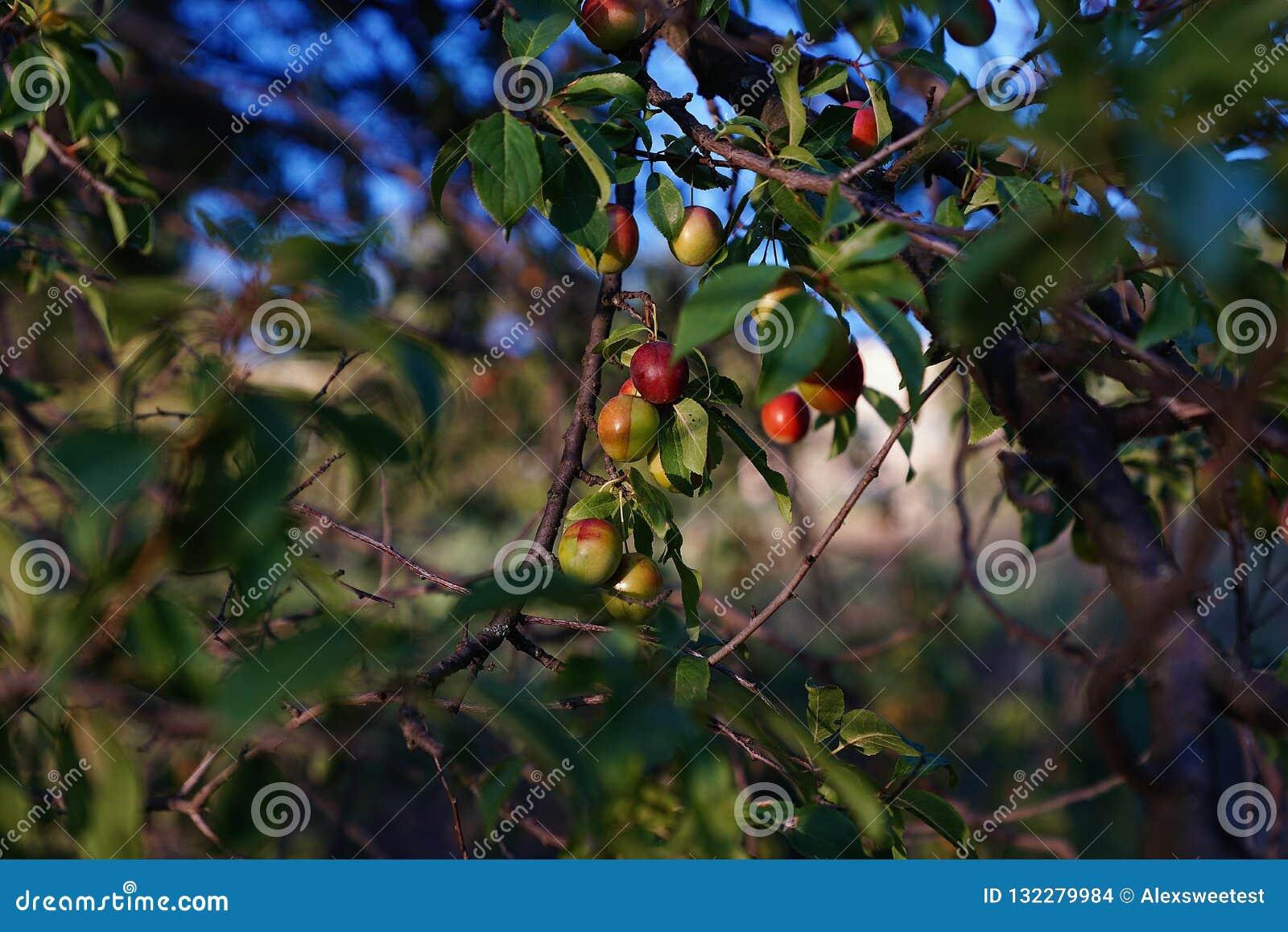 Små röda plommoner