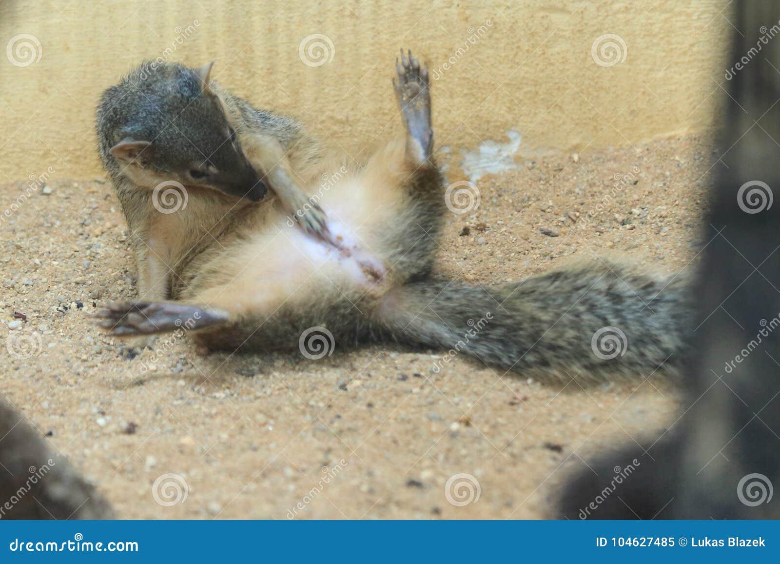 Download Smal-gestreepte mongoes stock afbeelding. Afbeelding bestaande uit mongoes - 104627485
