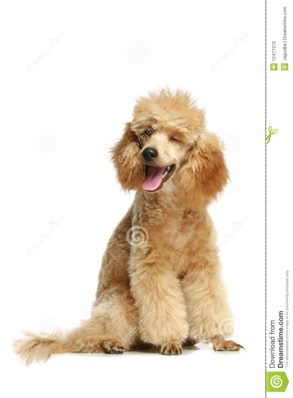 Small apricot poodle puppy